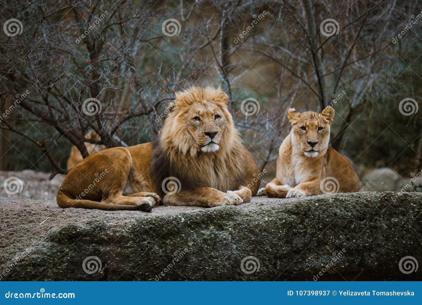 Två vuxna rovdjur, familjen av ett lejon och en lejoninna vilar på en sten i zoo av staden av Baseln i Schweiz i vinter I