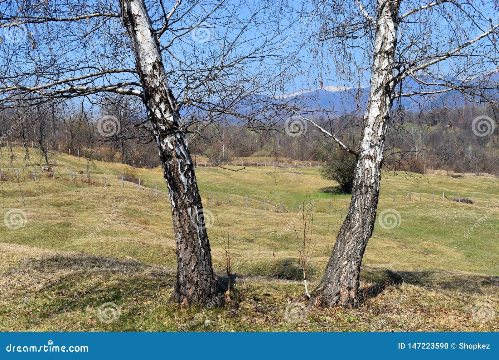 Tvilling- träd för vit poppel i härlig solig vårdag