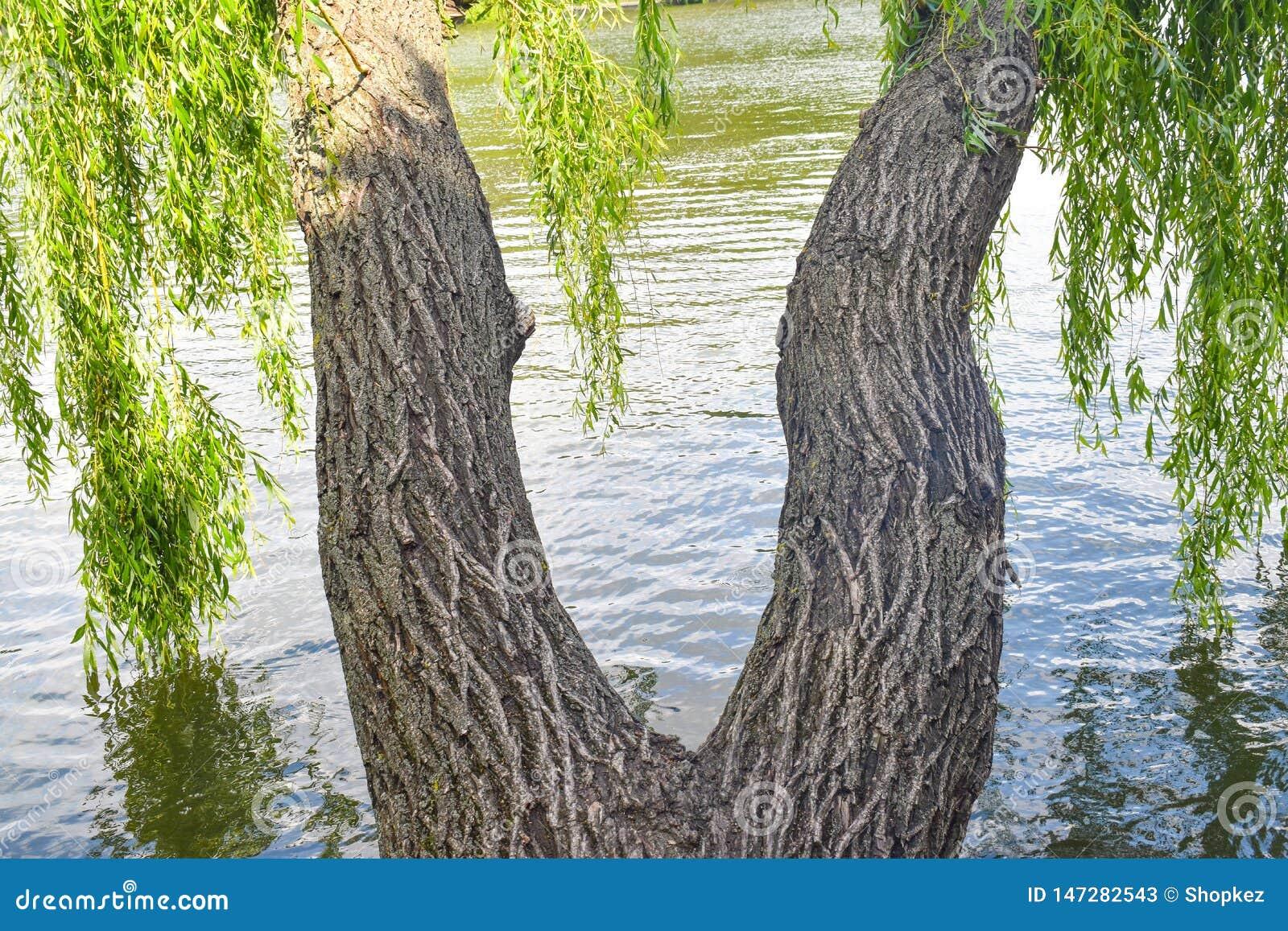 Tvilling- viden med vridna stammar har formen av kvinnaben