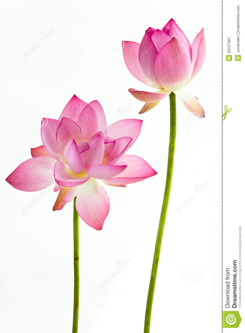Twain Pink Water Lily Flower Lotus Stock Image Image Of Bloom