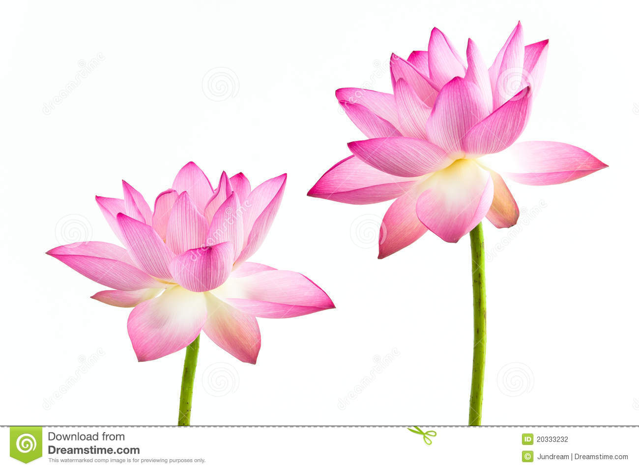 Pink Water Lily Flower Lotus And White Backgroun Stock Photo