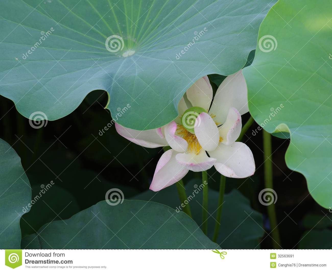 Twain pink water lily flower lotus stock image image of bloom the lotus flower water lily is national flower for india lotus flower is a important symbol in asian culture mightylinksfo