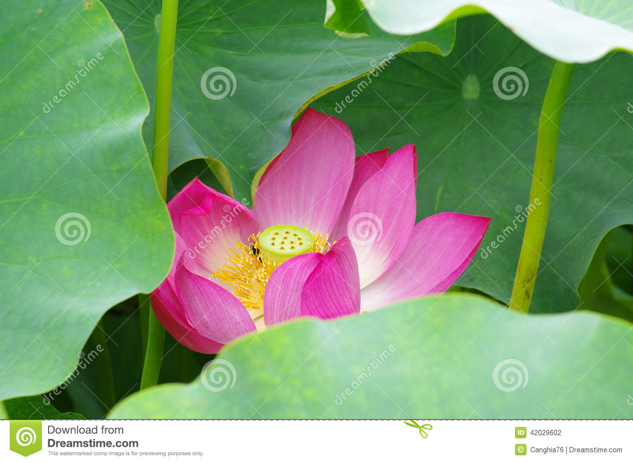 Twain Pink Water Lily Flower Lotus Stock Photo Image Of Summer