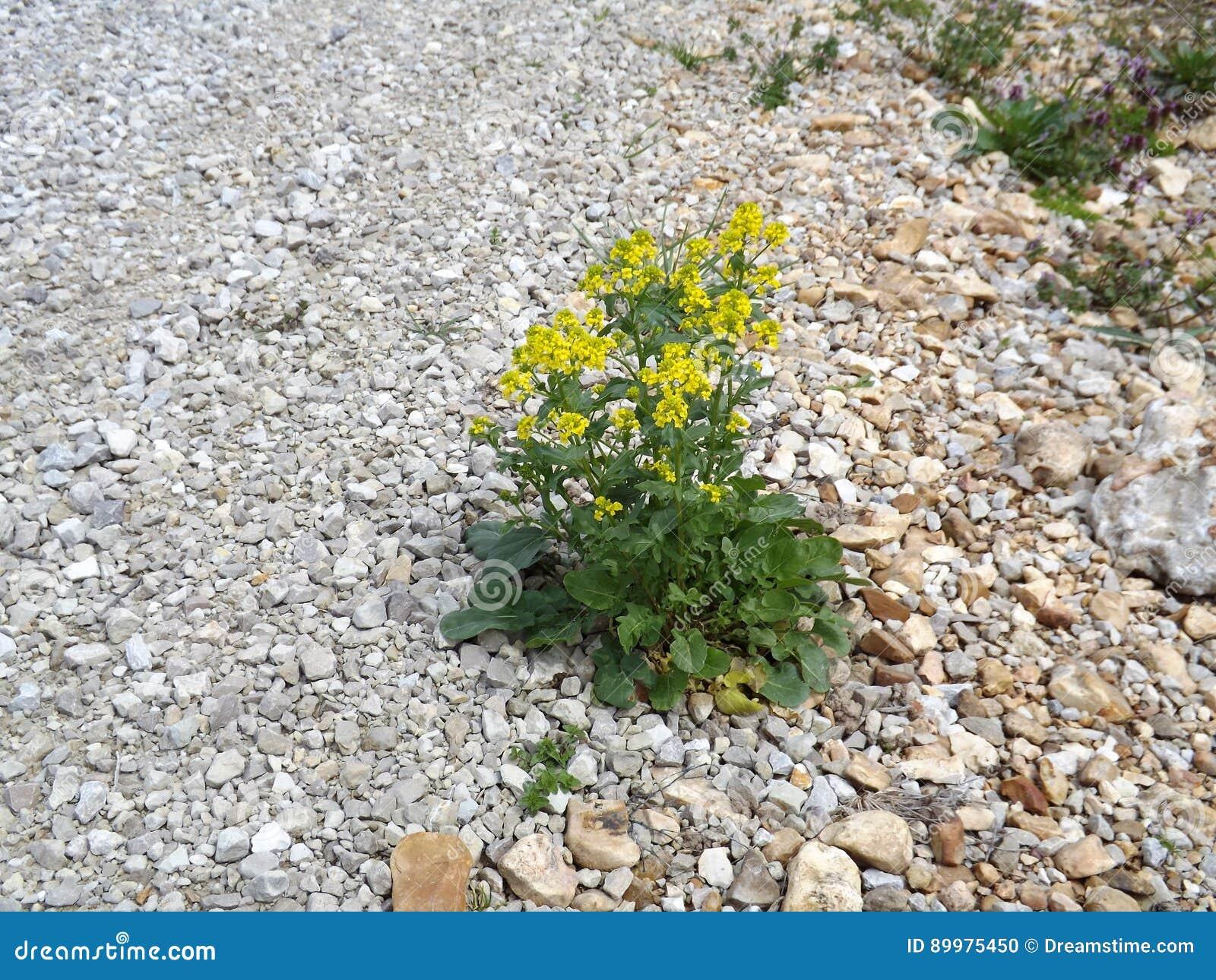 Twardy kwiat