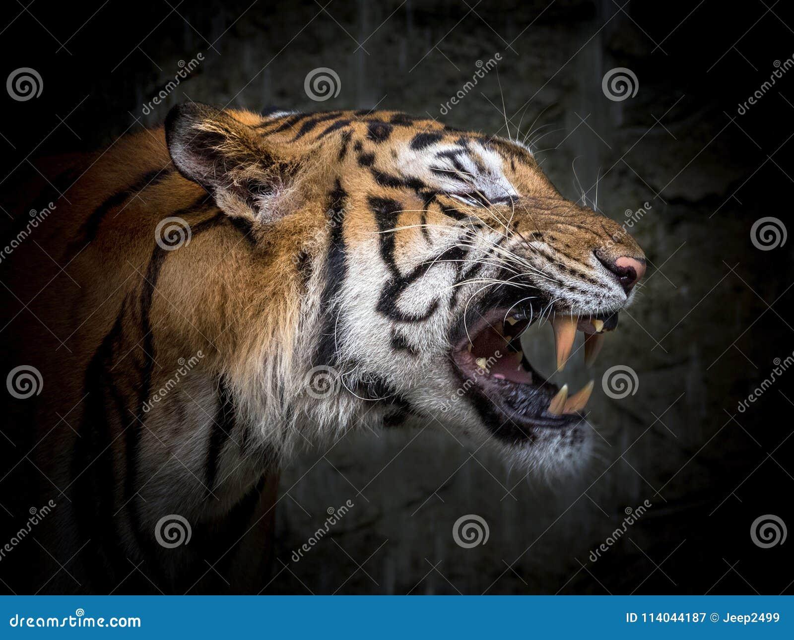 Twarz Azjatycki tygrys