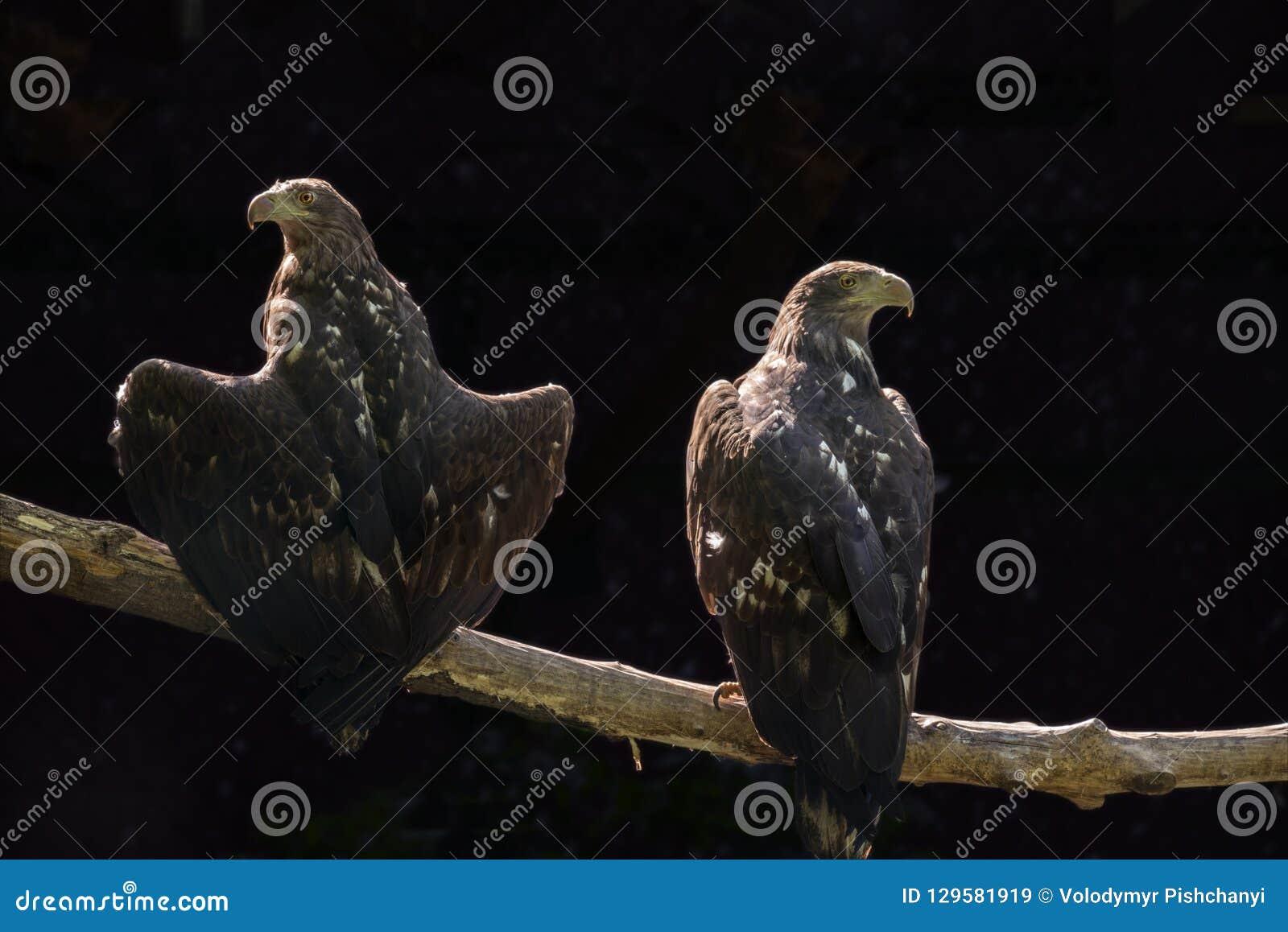 Twee adelaars zitten op een boomtak op een donkere achtergrond