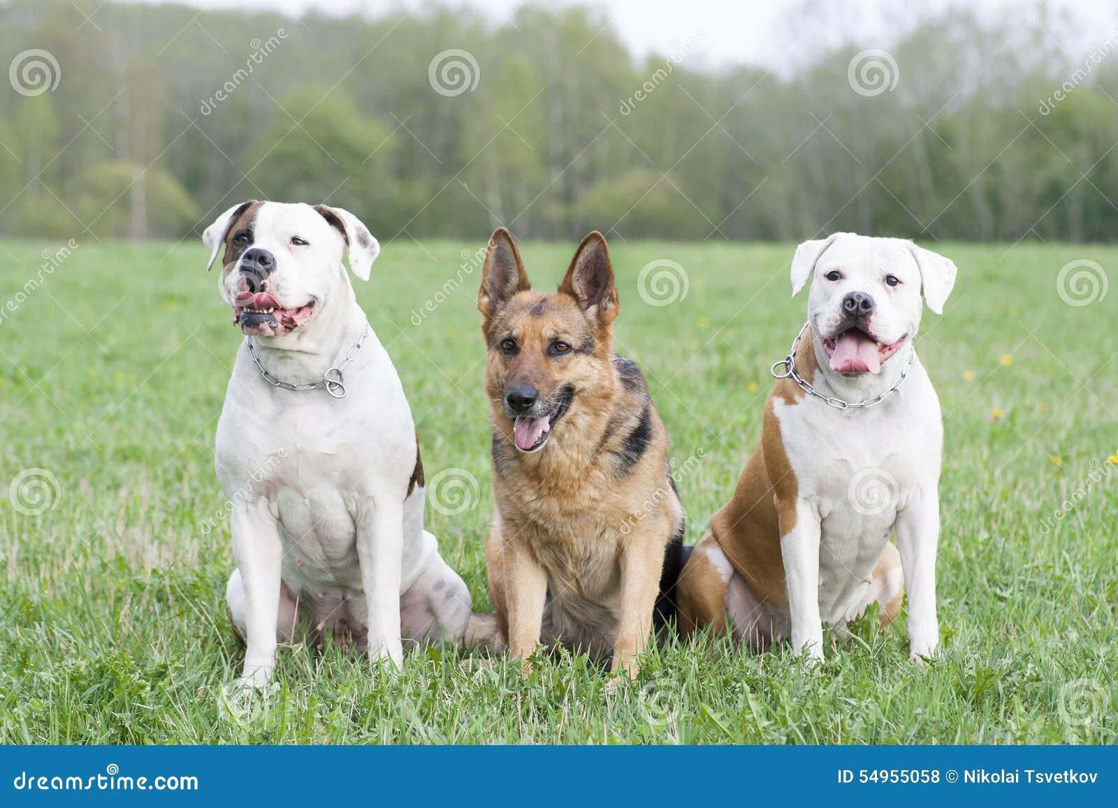 Twee Amerikaanse buldoggen en één Duitse herdershond
