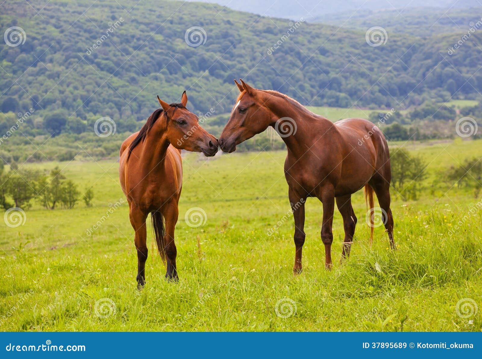 Twee Arabische paarden