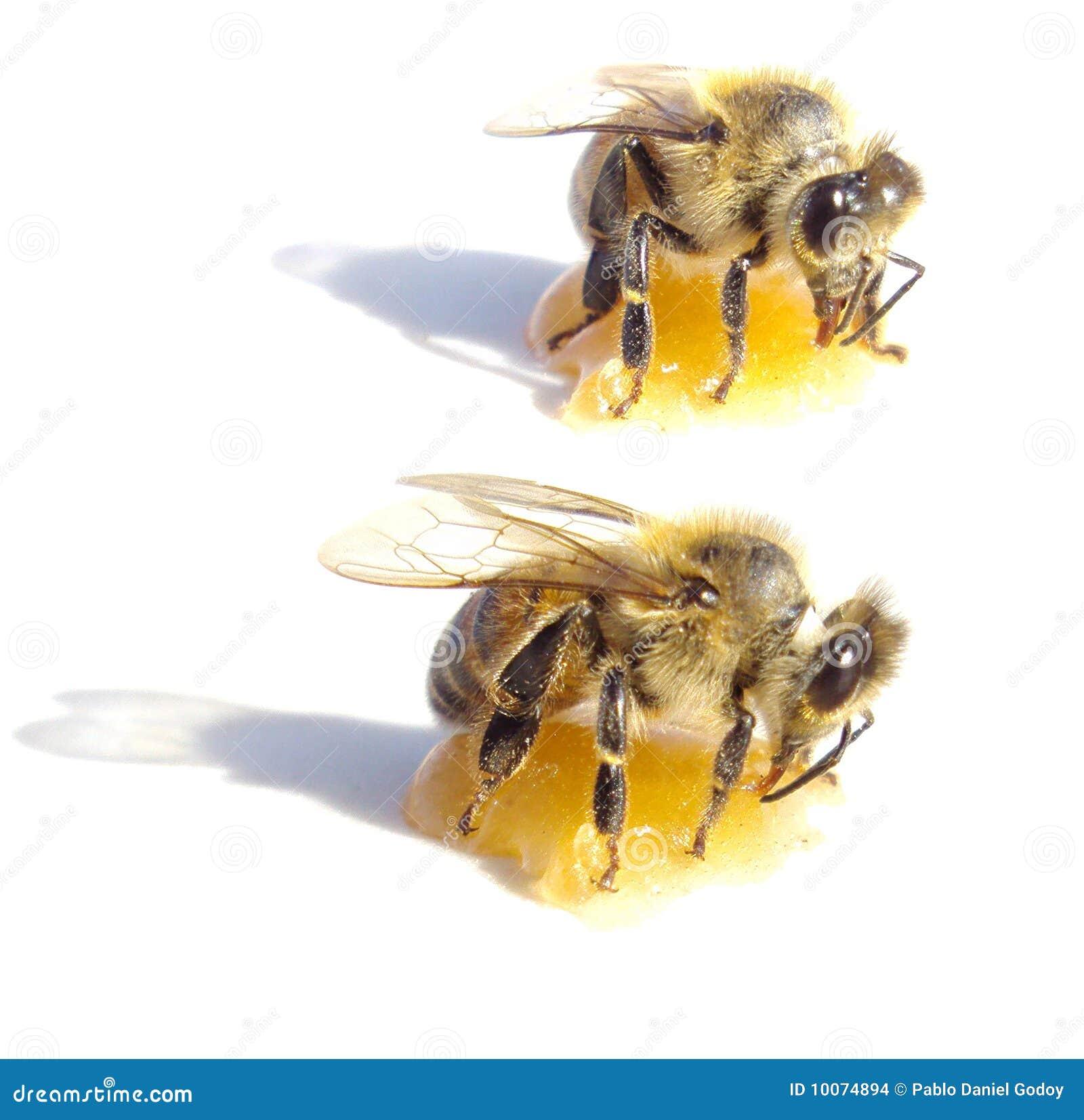 Citaten Over Bijen : Twee bijen die honing over witte achtergrond eten stock