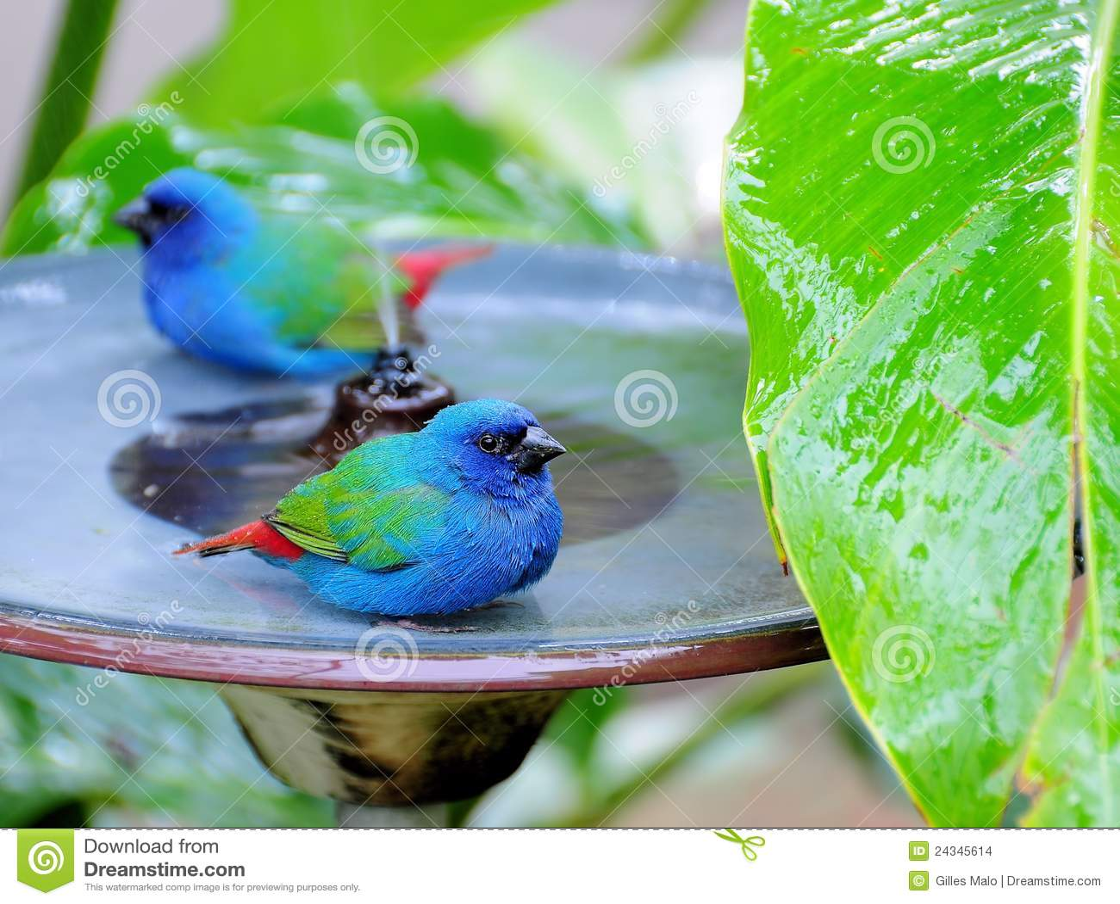 Twee blauw-Onder ogen gezien Vogels Parrotfinch