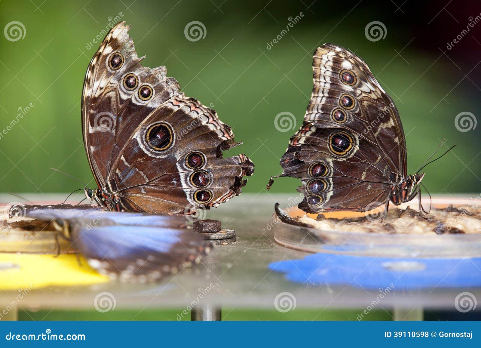 Twee Blauwe Morphus vlinder