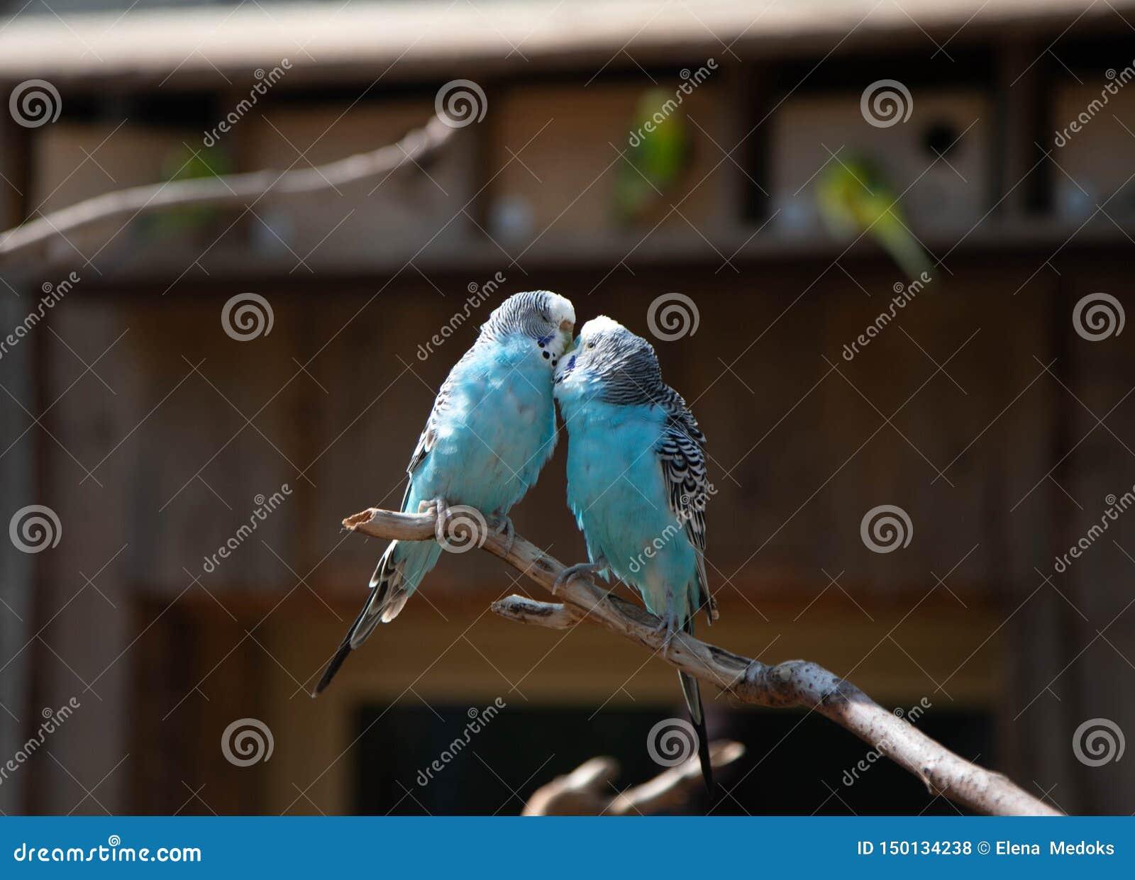 Twee blauwe papegaaien in liefde zitten op een tak en een kus