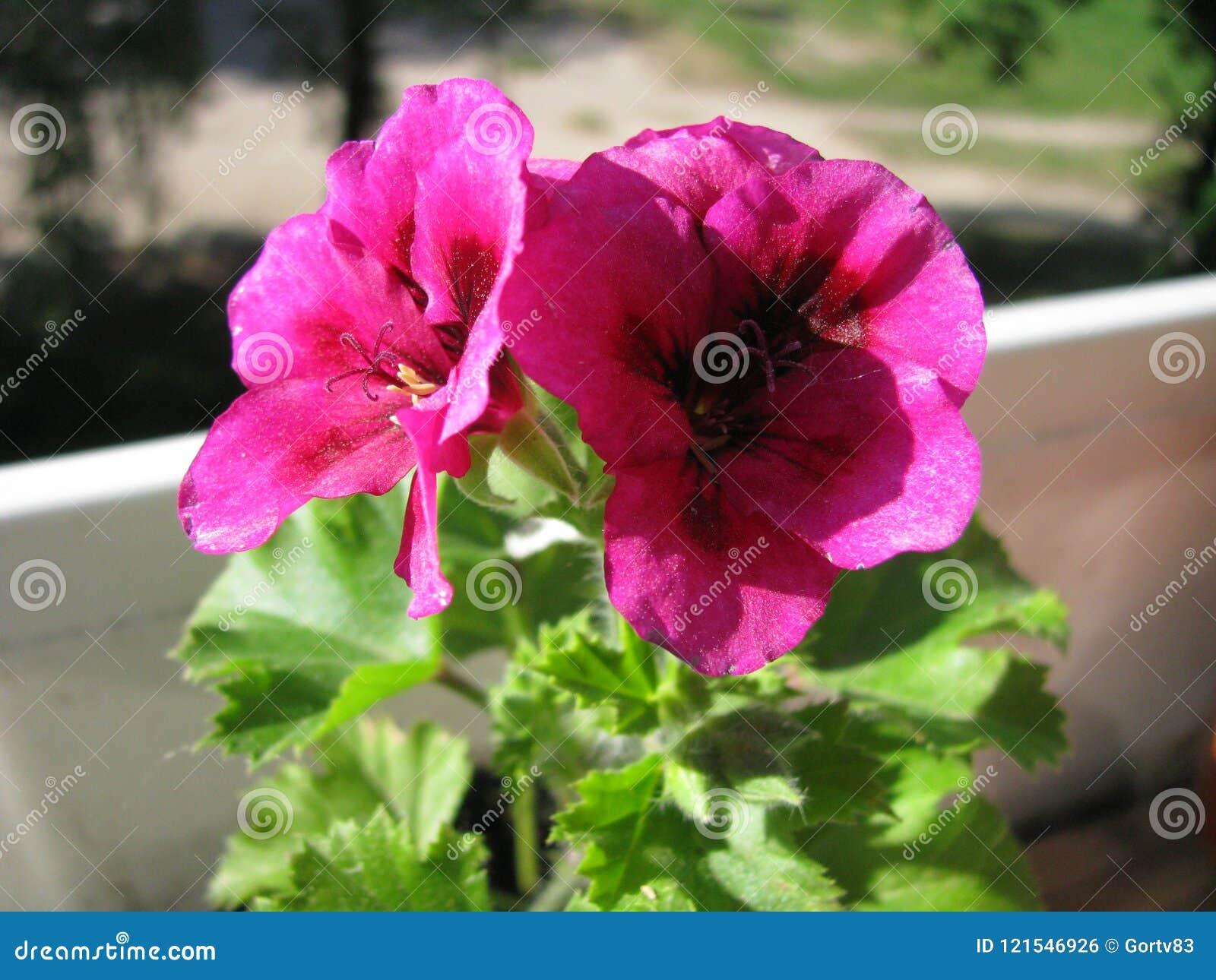 Twee bloemen van Vorstelijk Ooievaarsbekpac Suikergoed bloeit Viooltje