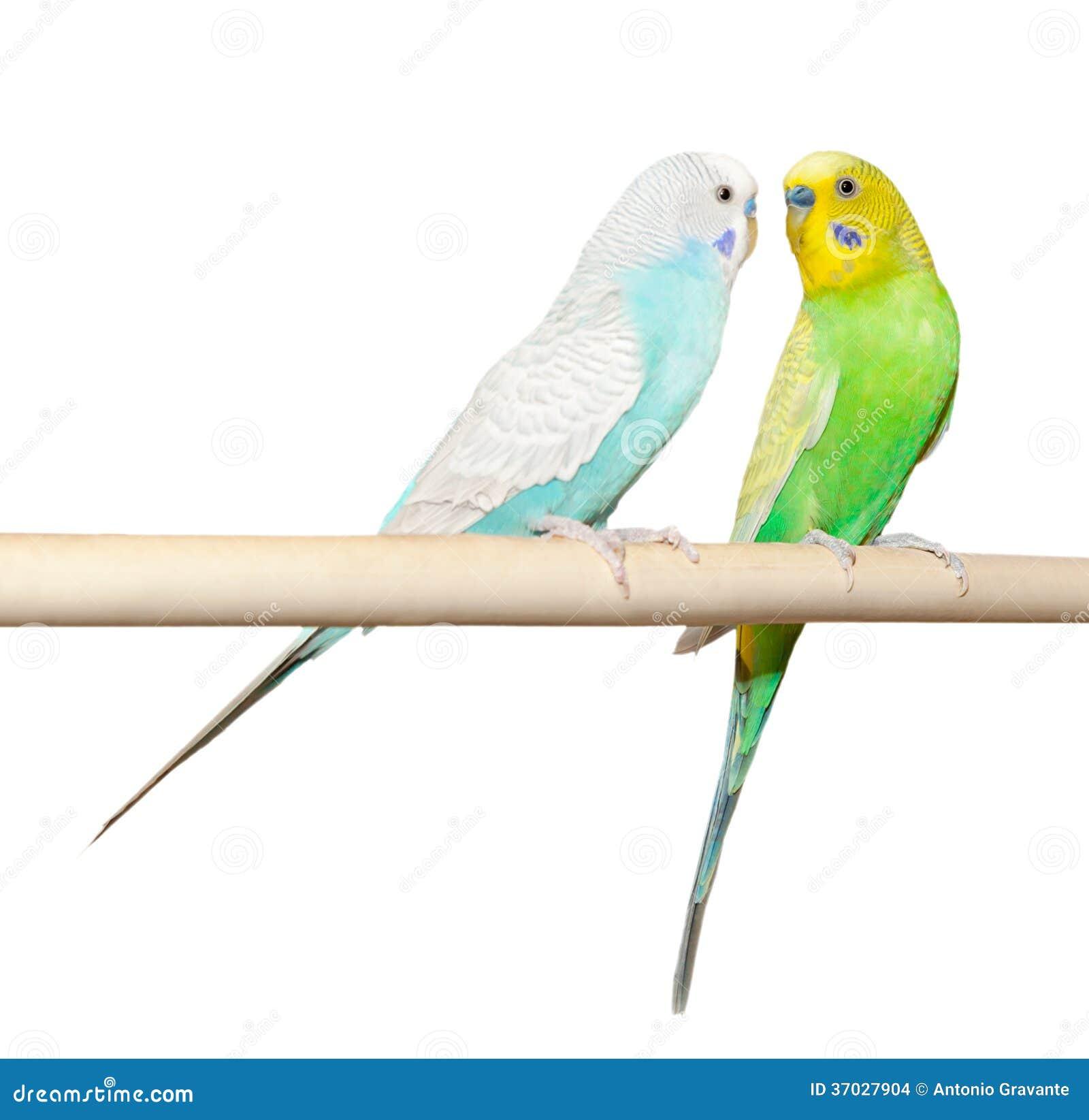 Twee Budgie zitten op een toppositie