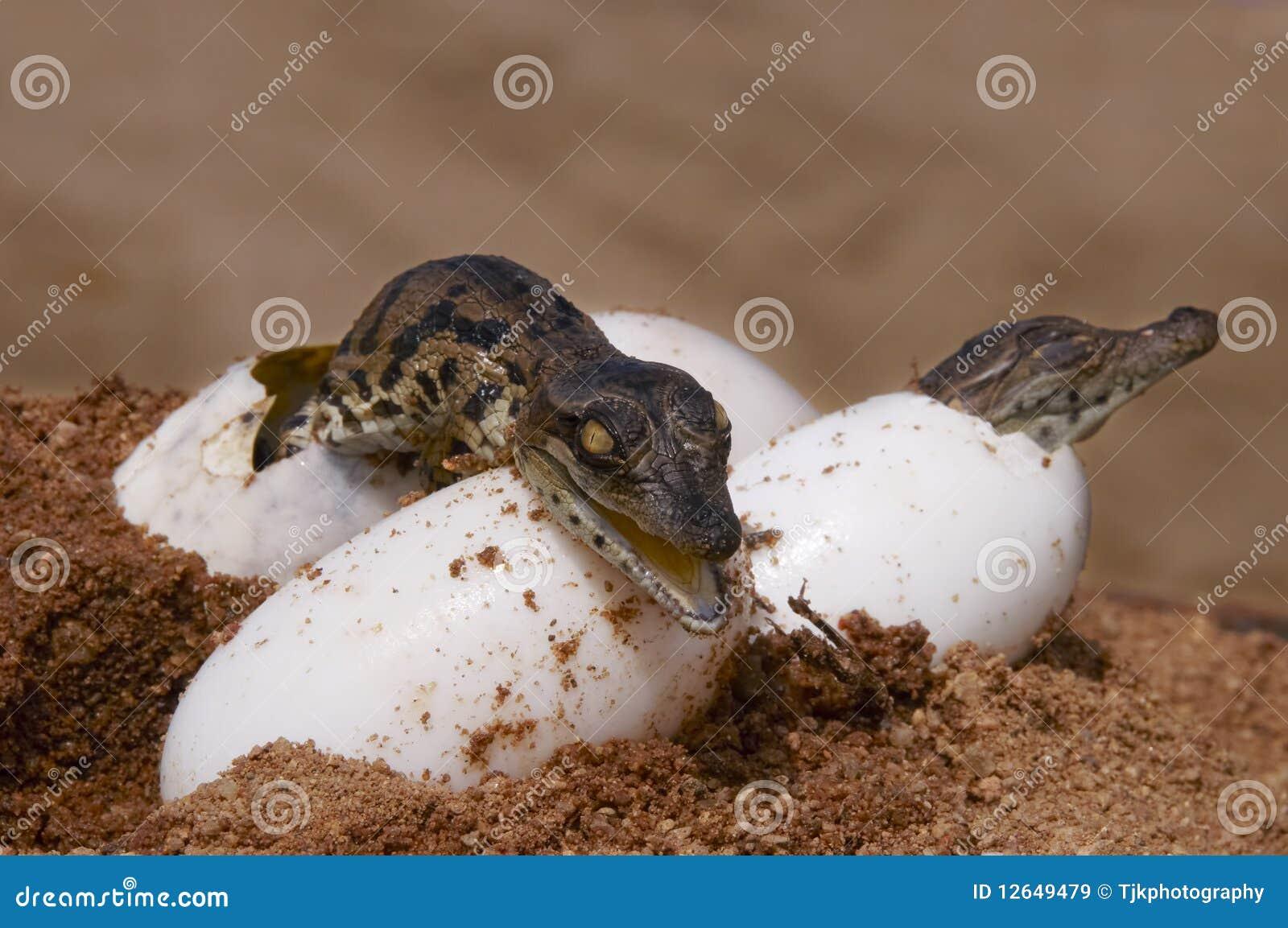 Twee crocs die van eieren uitbroeden