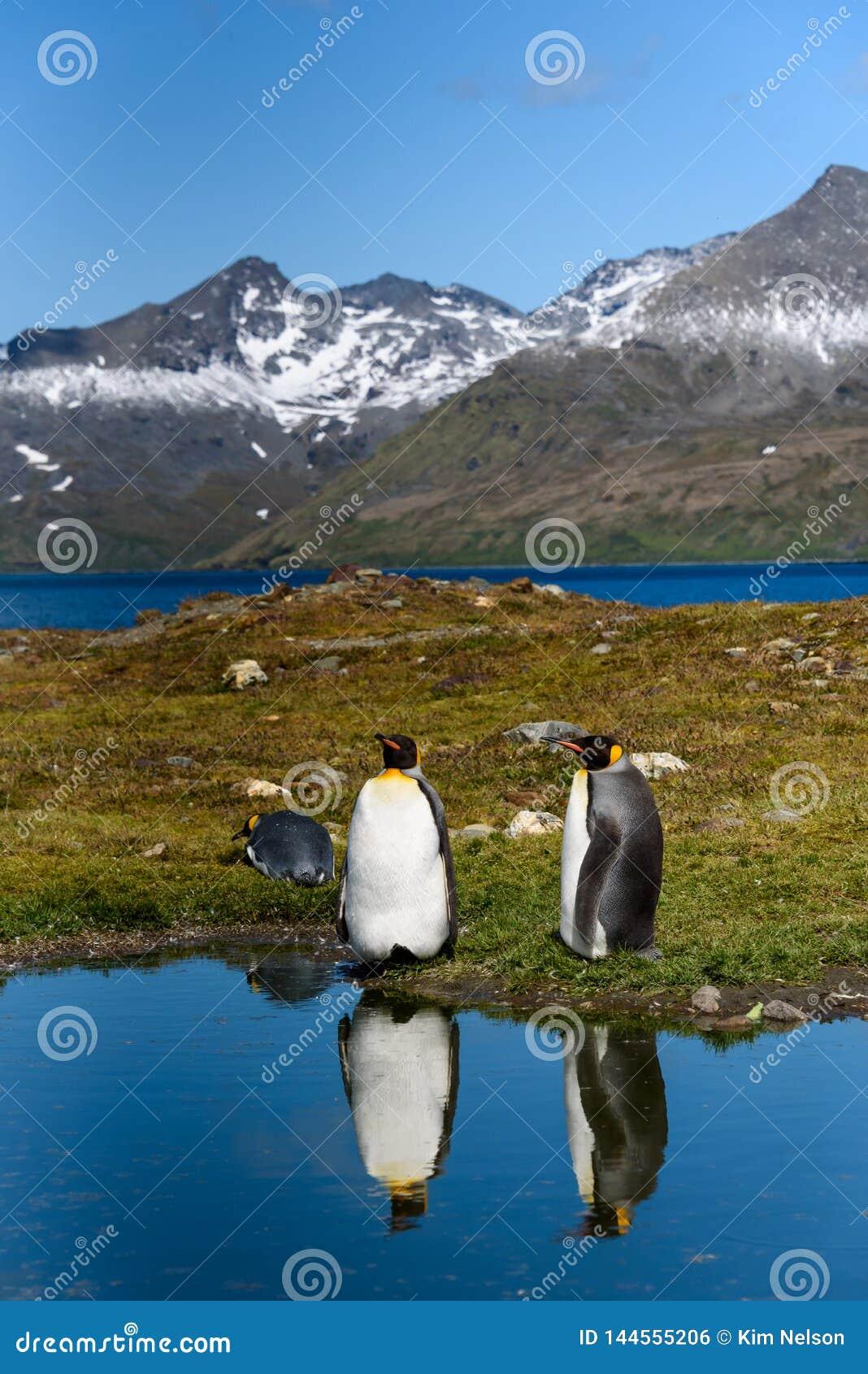 Twee die Koning Penguins zich op de rand van een kalme vijver bevinden, met bezinningen, zonnige dag, mooi landschap van St Andre