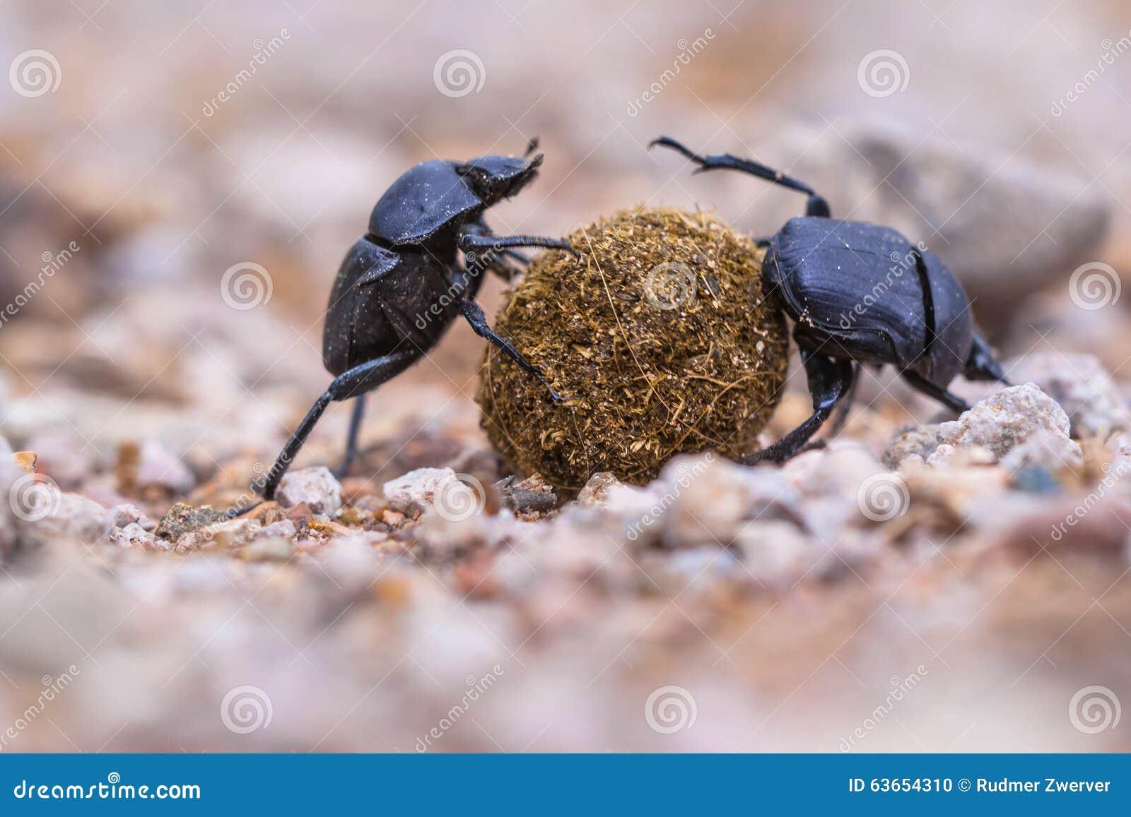 Twee die mestkevers stoppen
