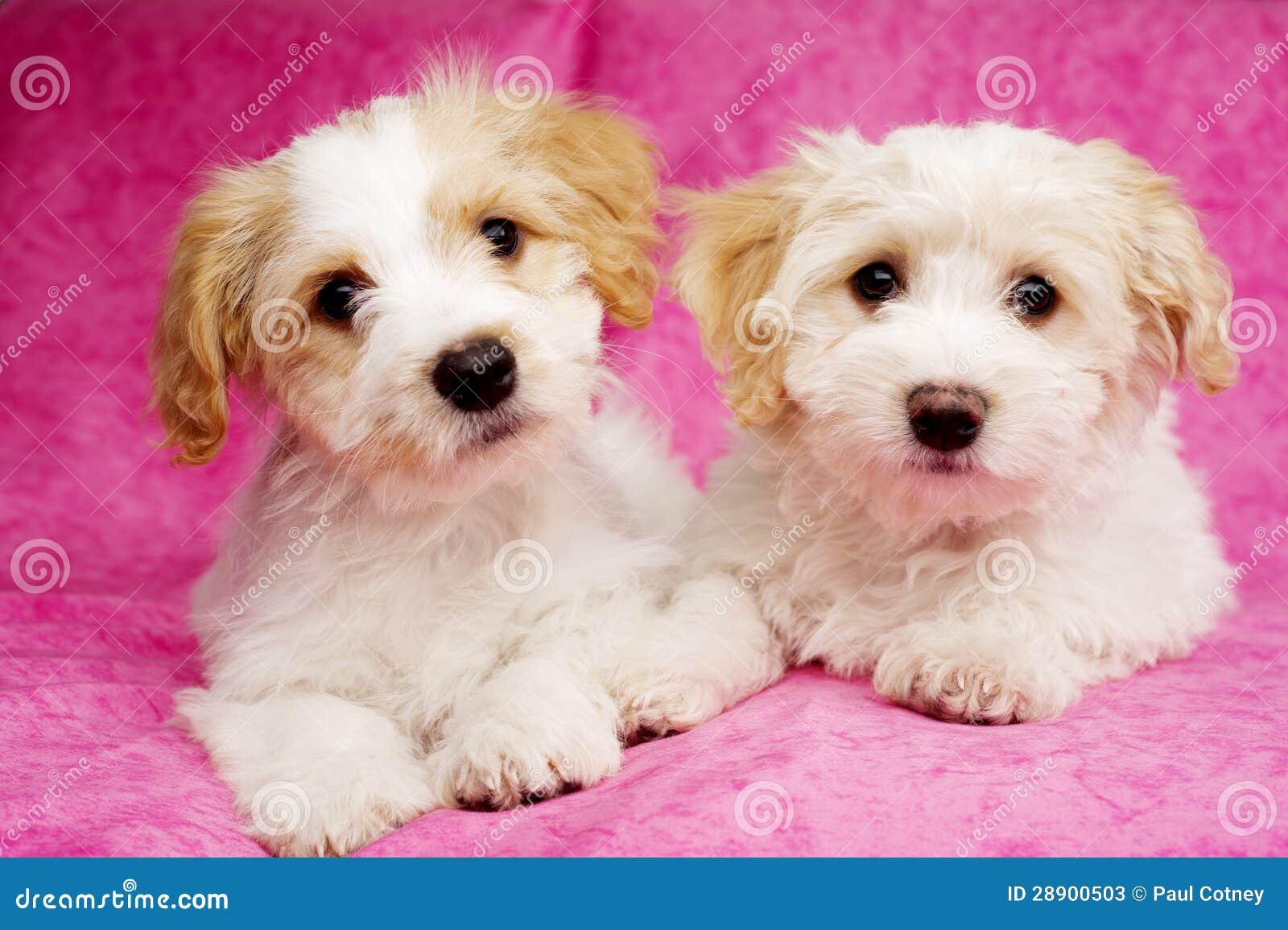 twee die puppy op een roze achtergrond worden gelegd stock afbeelding