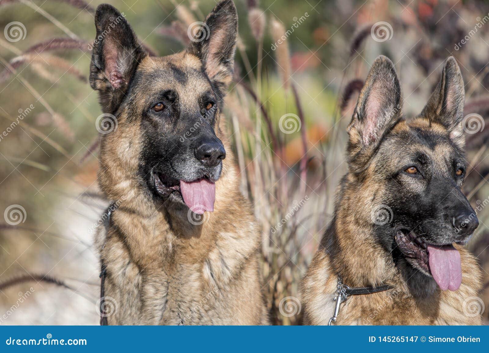 Twee Duitse herder Dogs Looking Alert voor een Portret