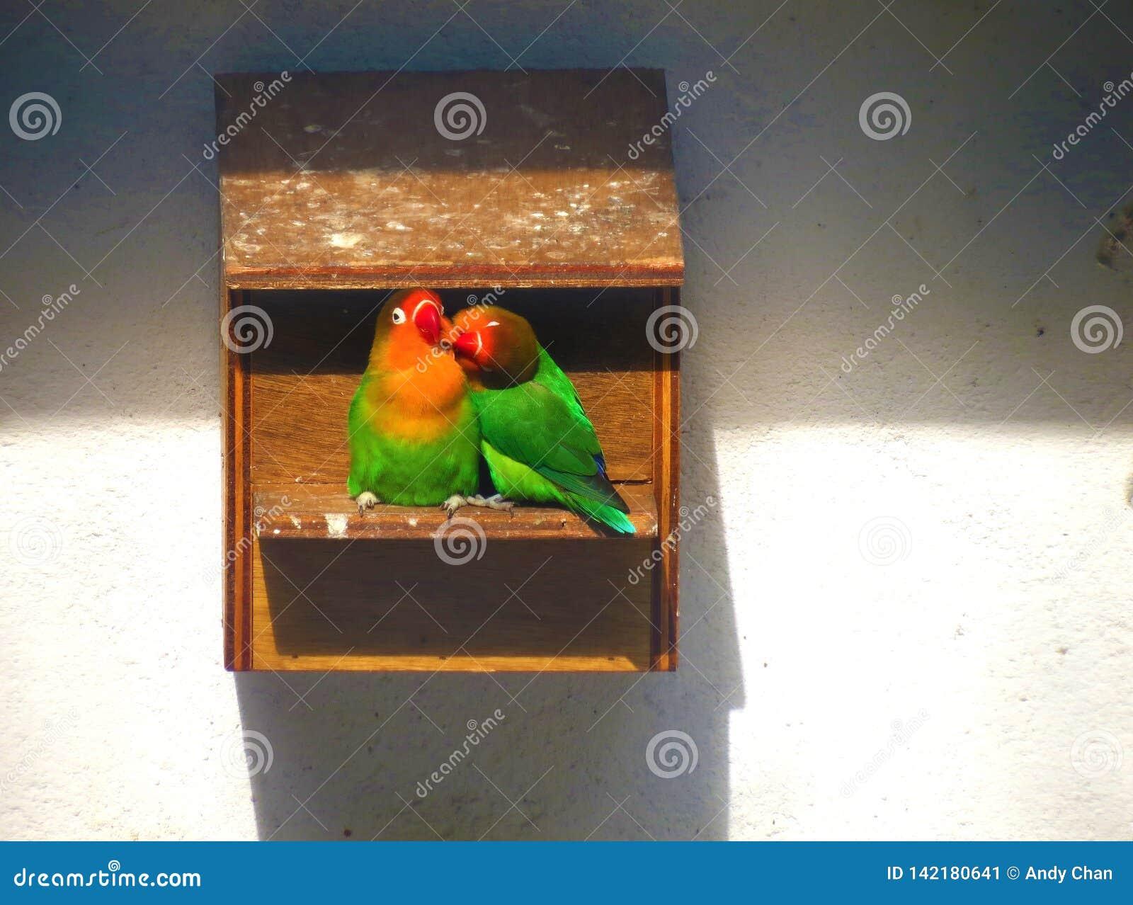 Twee dwergpapegaaien die van elkaars bedrijf in het vogelhuis genieten