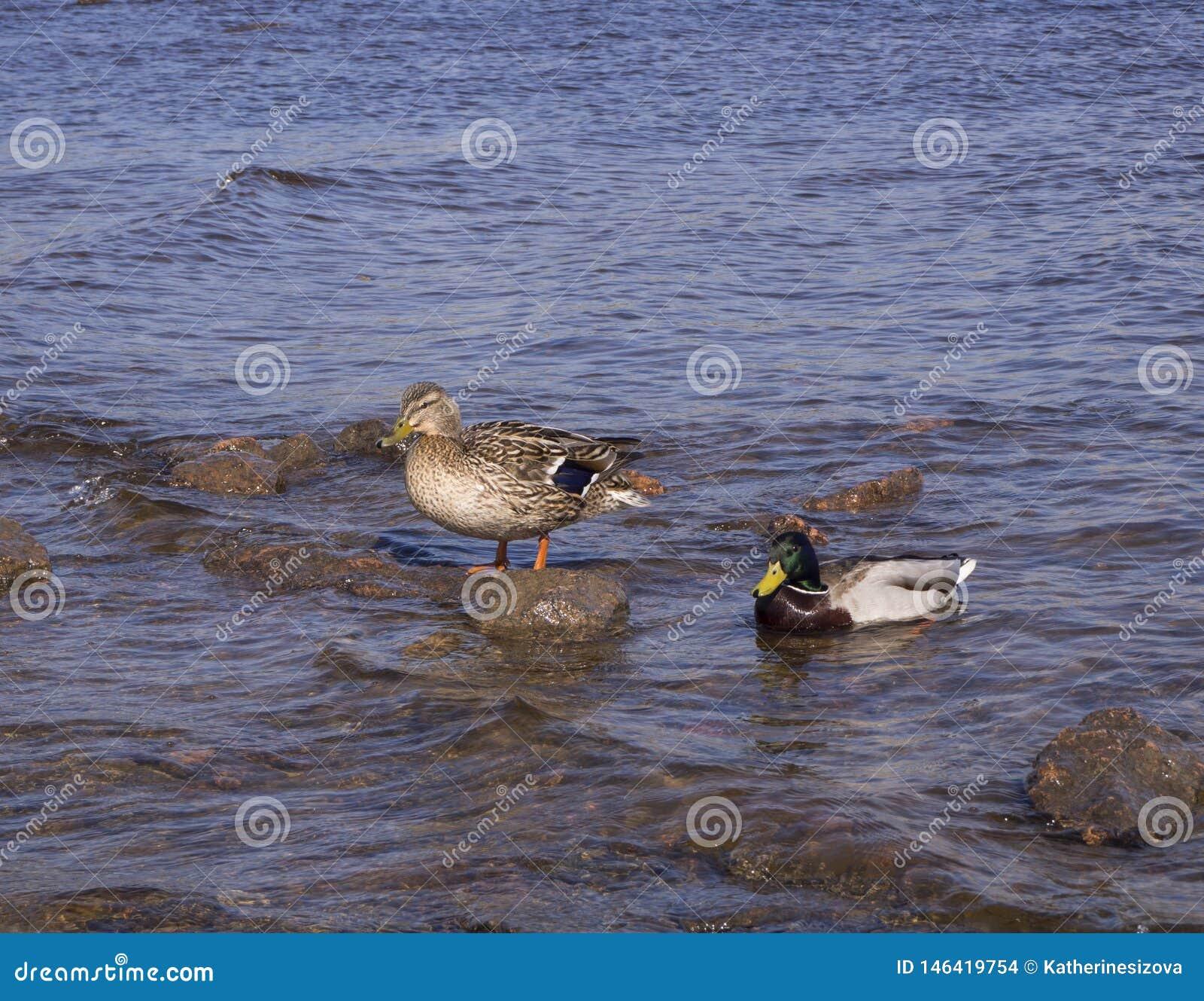 Twee eenden in het water, bevindt zich op de rots