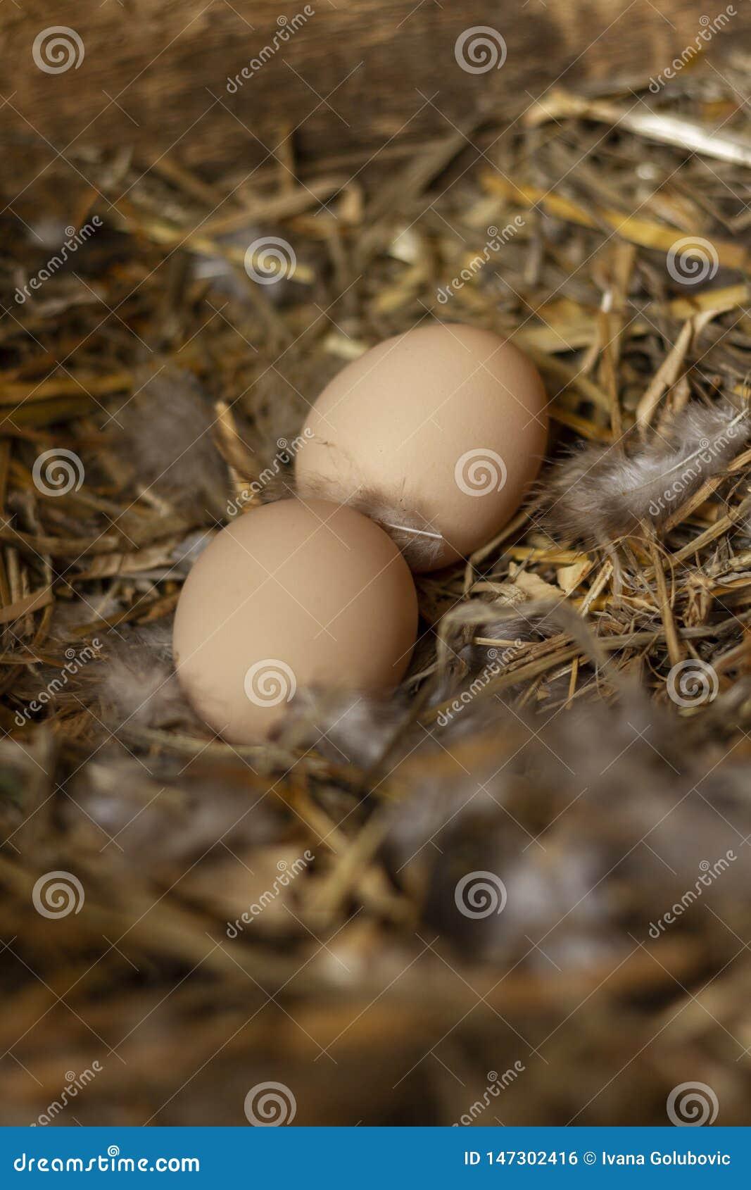 Twee eieren van de freerangekip in een nest met veren