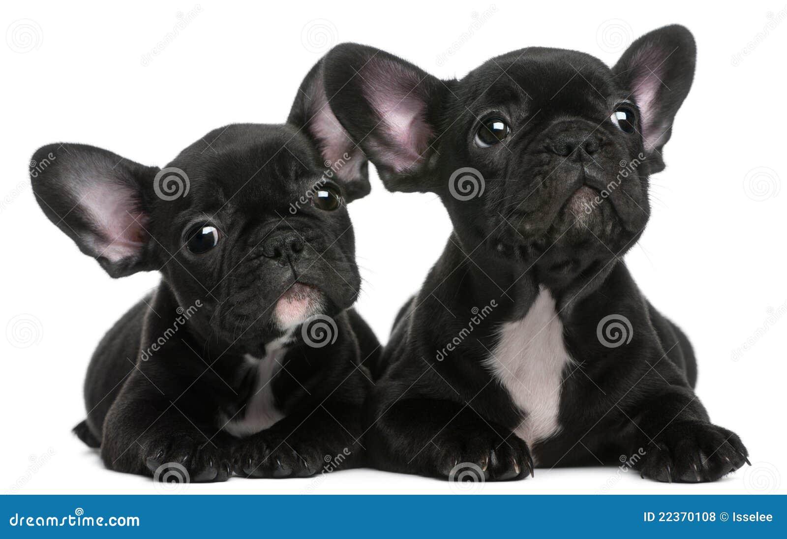 Twee Franse puppy van Buldoggen, 8 weken oud