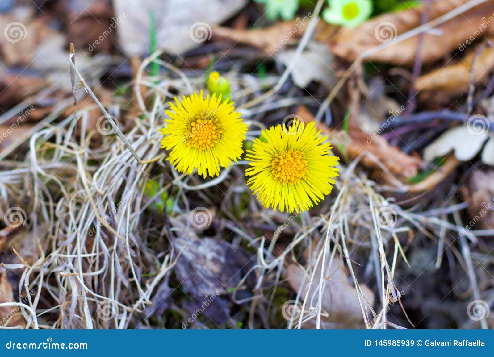 Twee gele madeliefjes in bloei onder droge bladeren