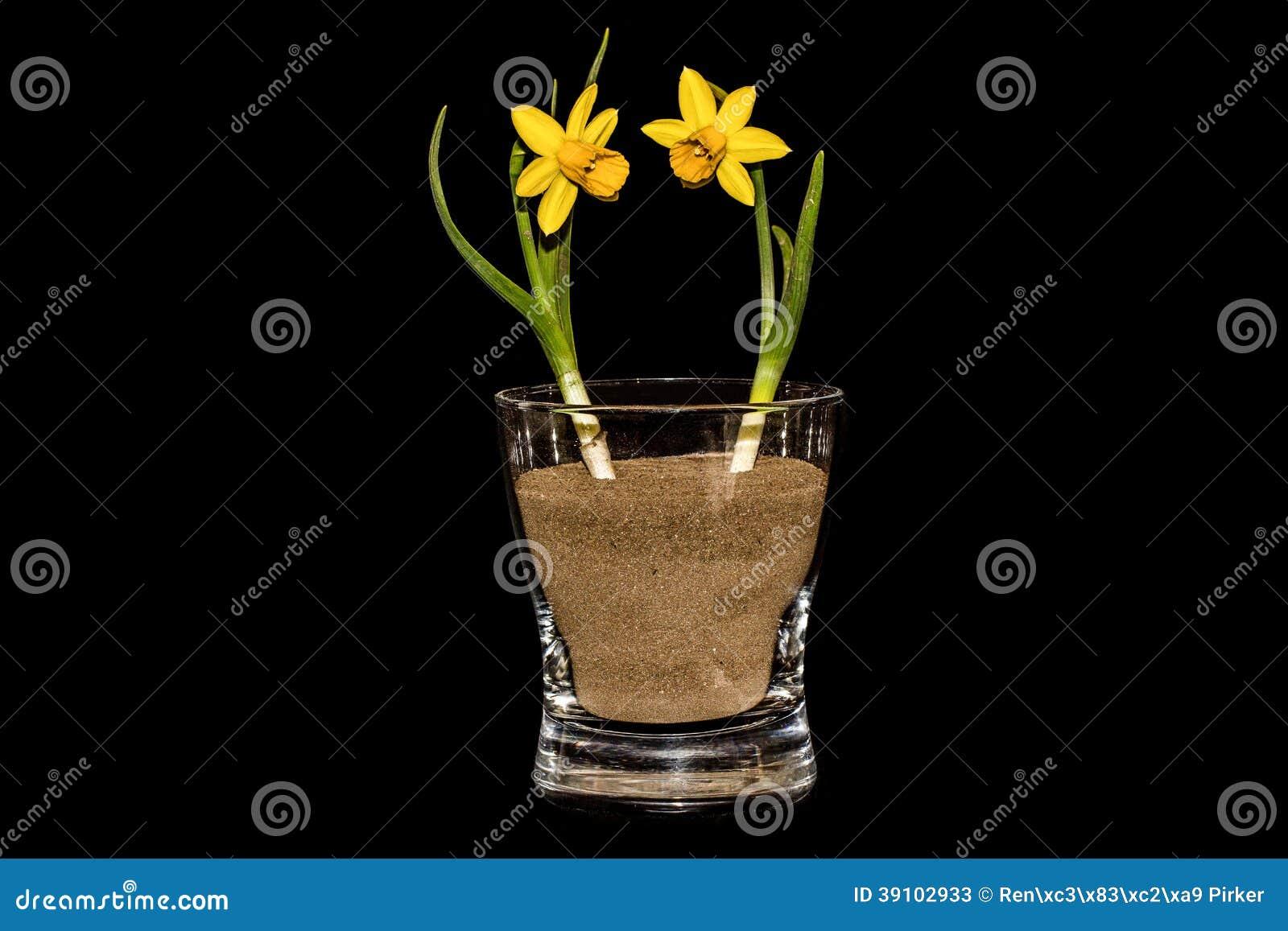 Twee Gele narcissen in een Glas