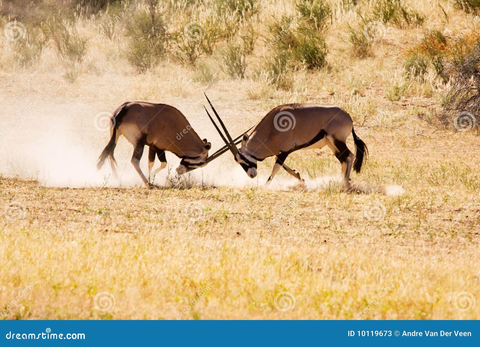 Twee Gemsbok antilopemannetjes het vechten