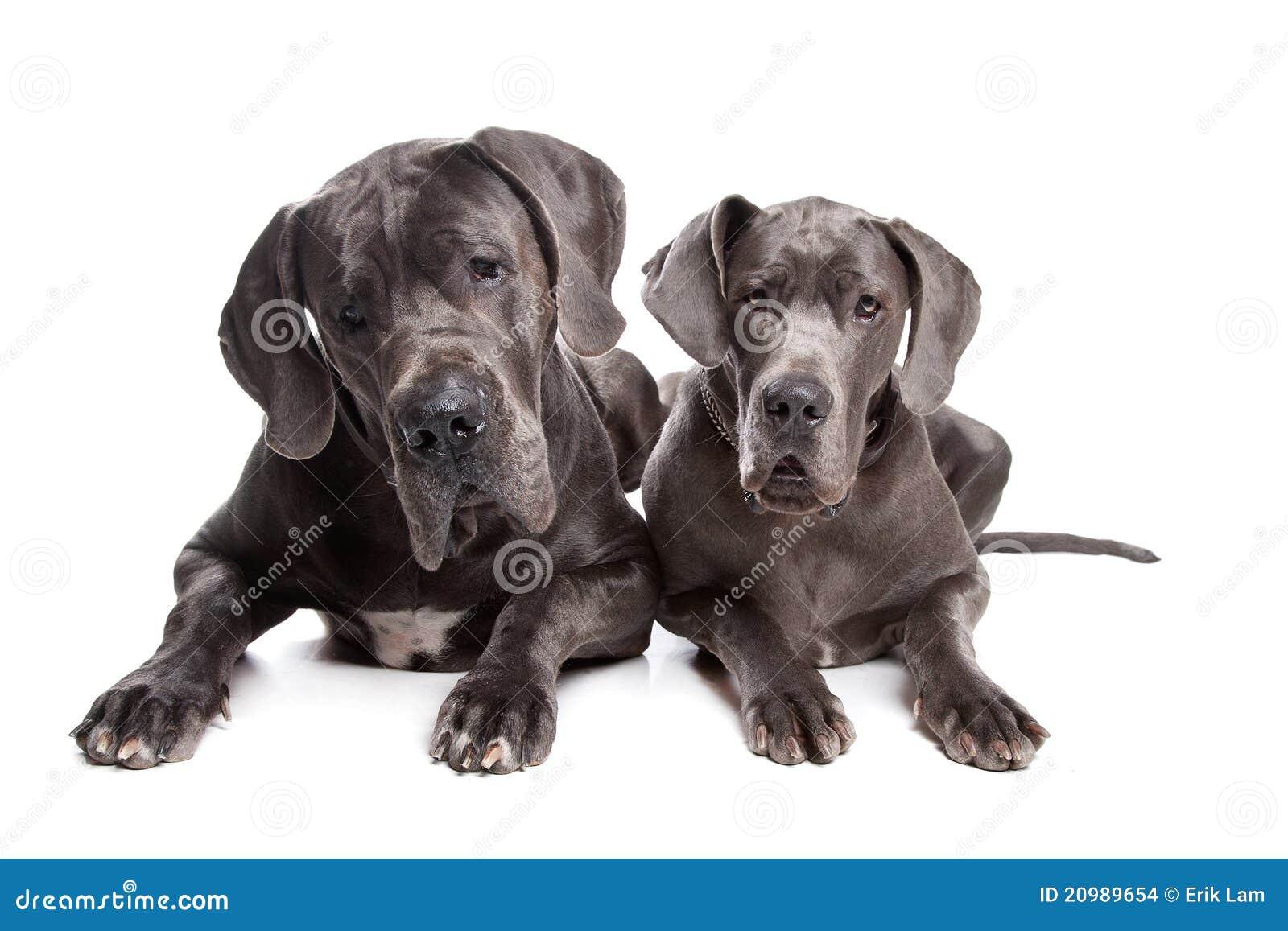 Twee grijze grote honden van de Deen