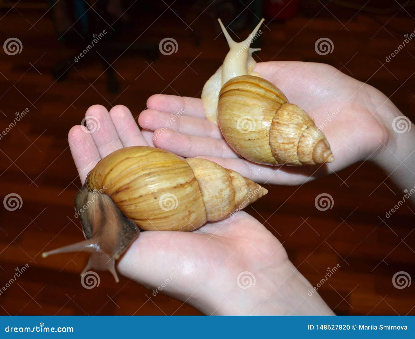 Twee grote Achatina-slakken