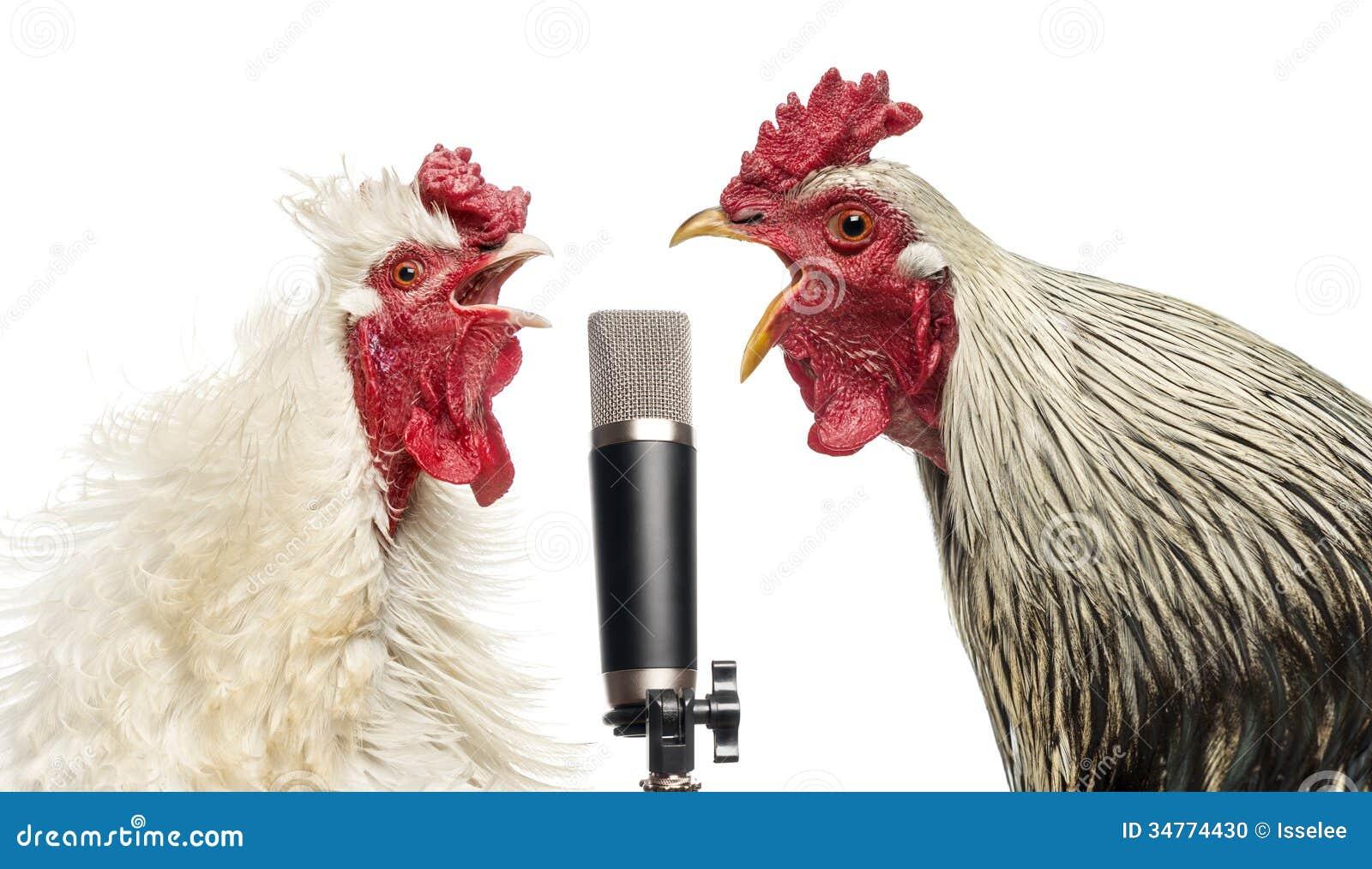 Twee hanen die bij een geïsoleerde microfoon zingen,