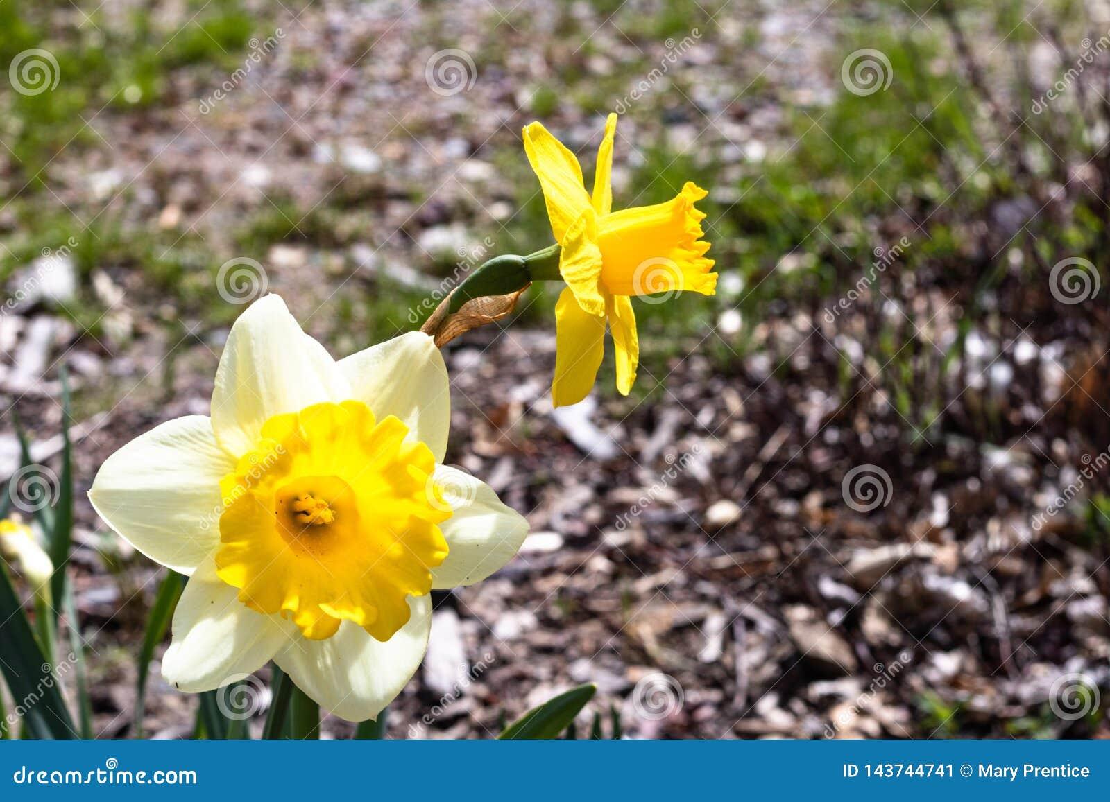 Twee heldere, gelukkige, vrolijke, gele gouden en witte unieke de gele narcisbollen die van de lentepasen in buitentuin in de len