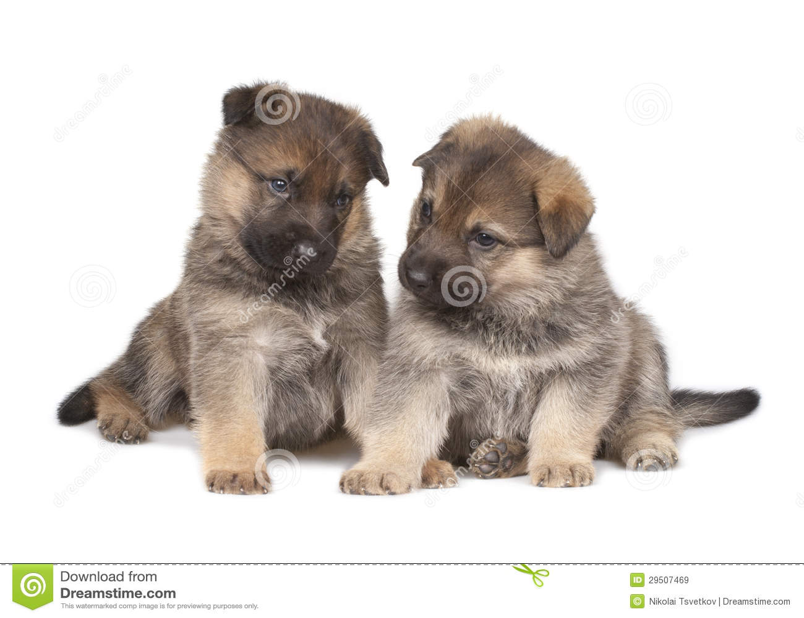 Twee herdershond` s puppy die over witte achtergrond worden geïsoleerd
