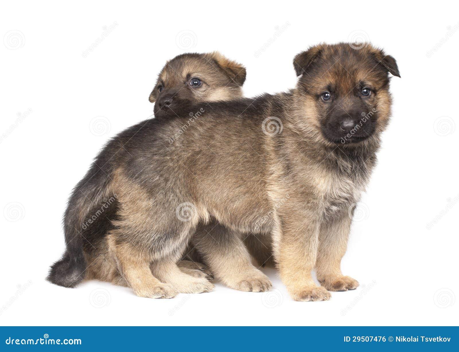 Twee herdershond` s puppy die over witte achtergrond worden geïsoleerdd