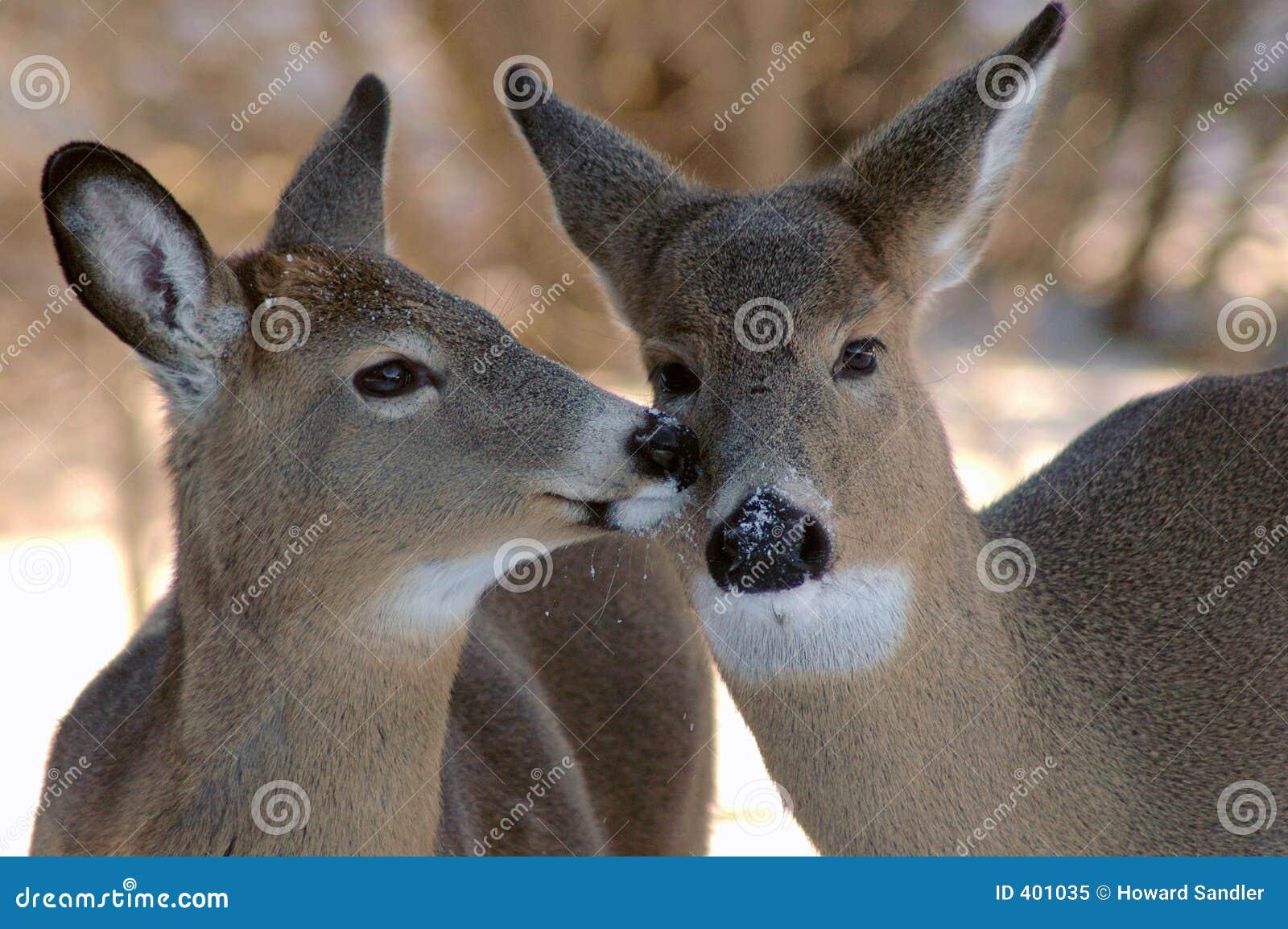 Twee herten het kussen stock afbeelding. afbeelding bestaande uit