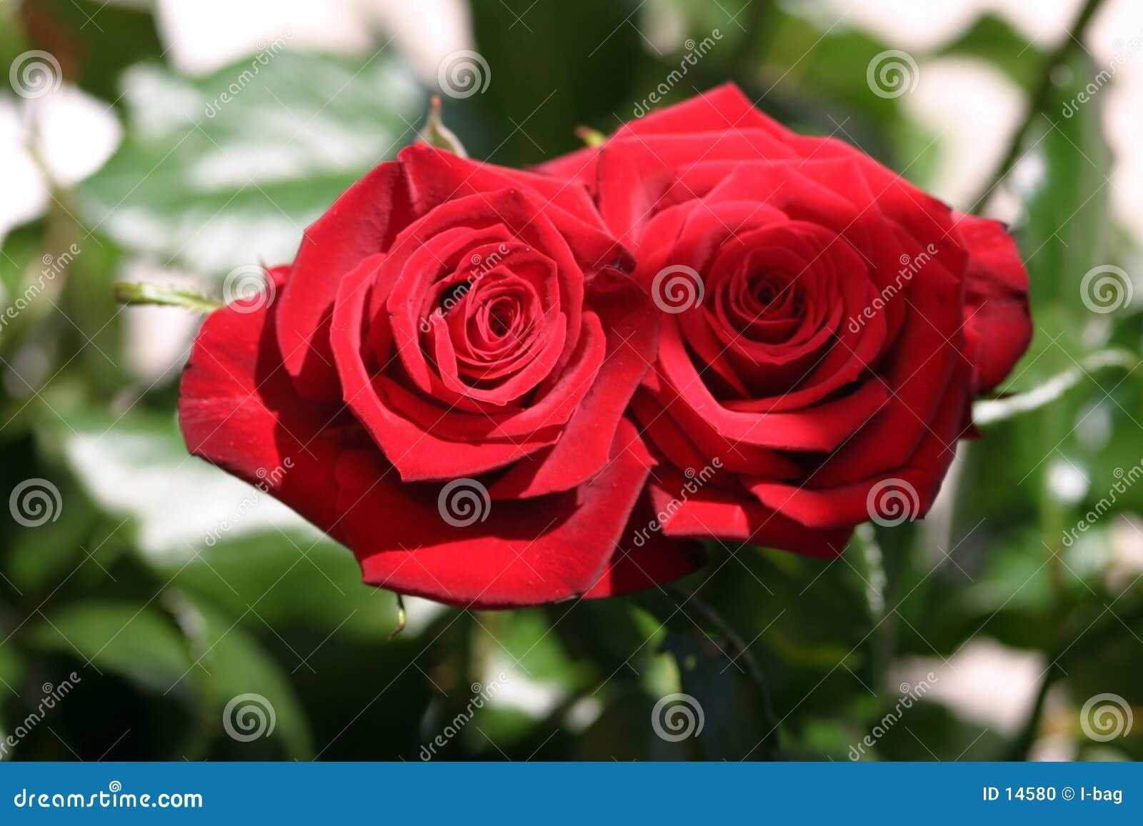 Twee het kussen rozen