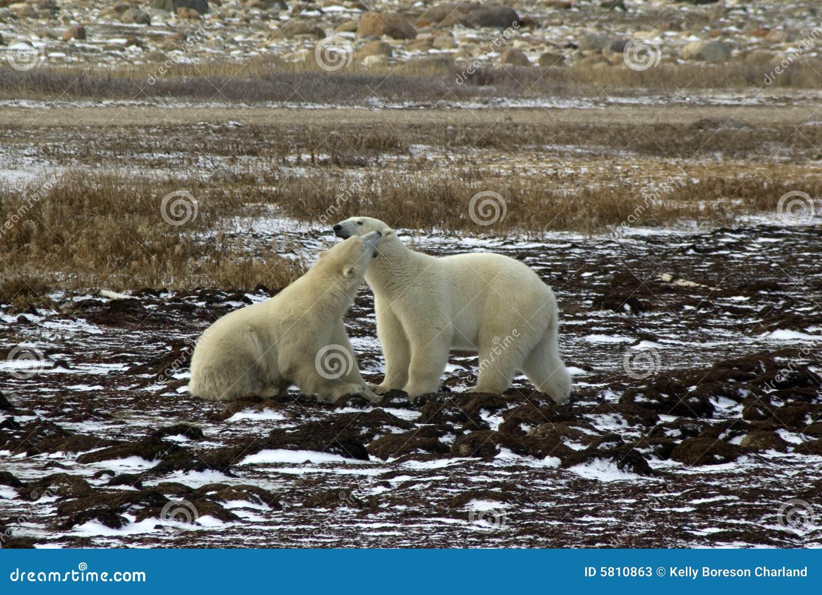 Twee het mannelijke ijsberen vechten