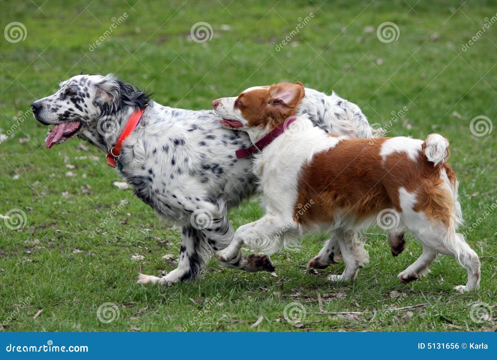 Twee honden die in een pak lopen
