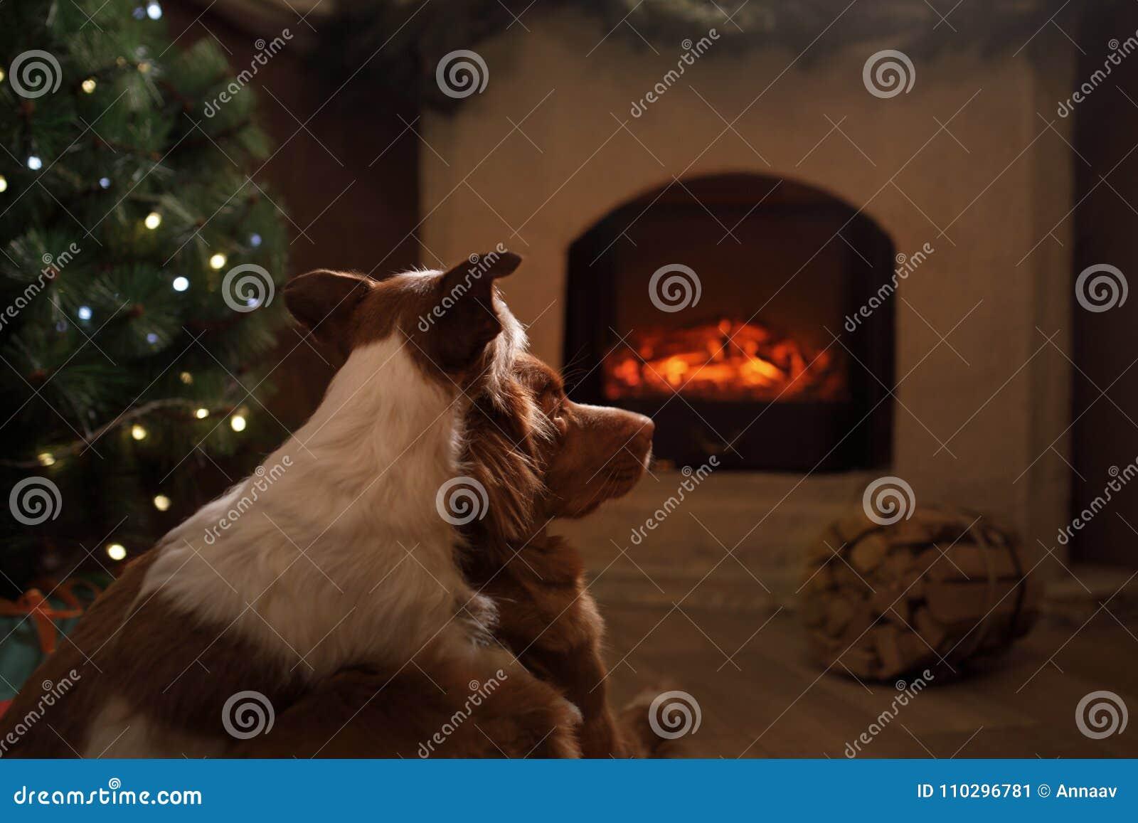 Twee honden door de open haard Jack Russell Terrier en Nova Scotia