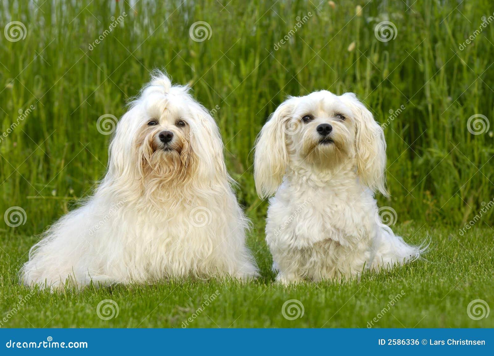 Twee honden op gras