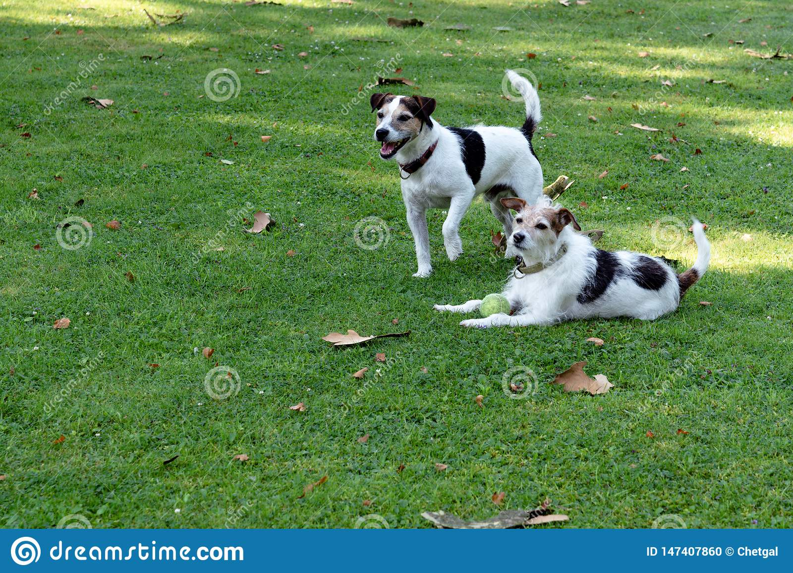 Twee Honden van het Jack Russell Terrier-ras zijn op het gazon en bewaken de bal