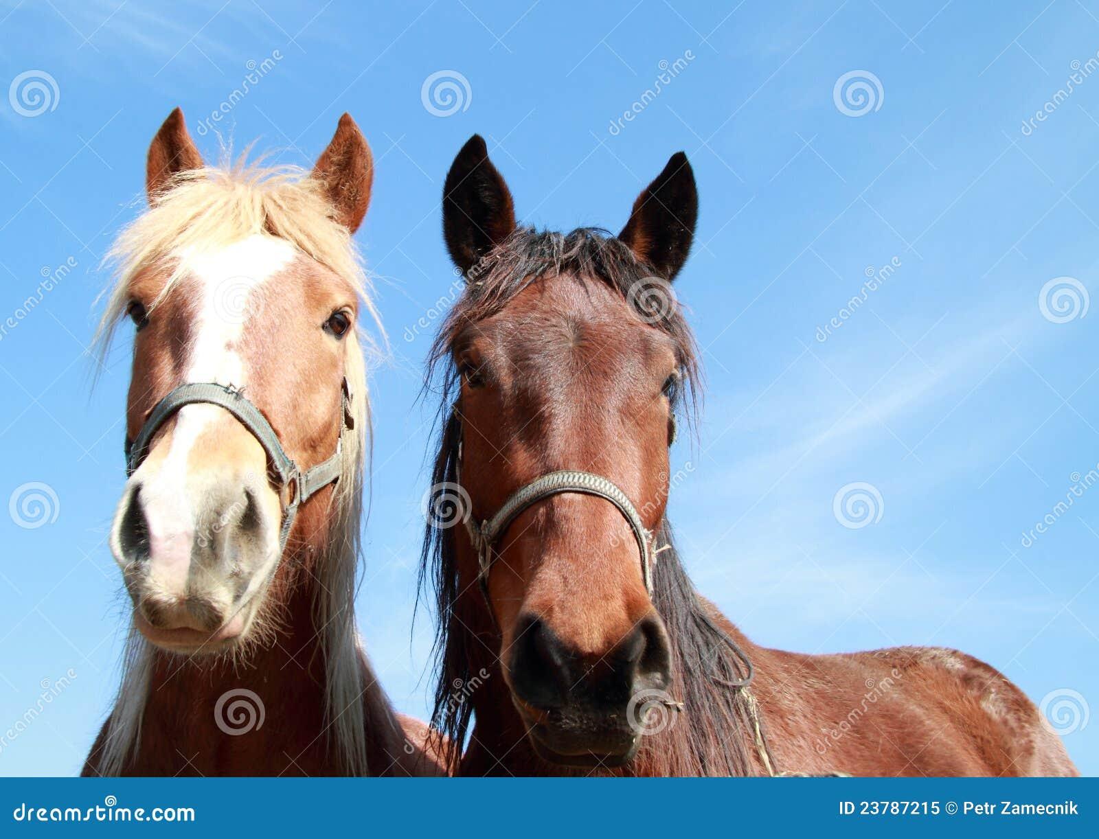 Twee hoofden van paarden