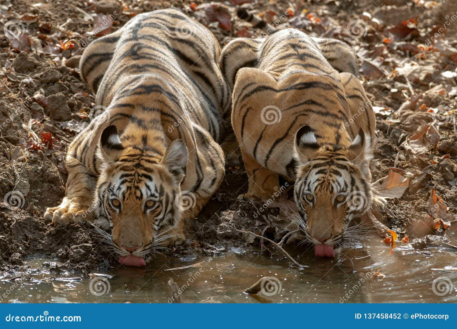 Twee jong tijgers drinkwater in Tadoba Andhari Tiger Reserve, Chandrapur, Maharashtra, India