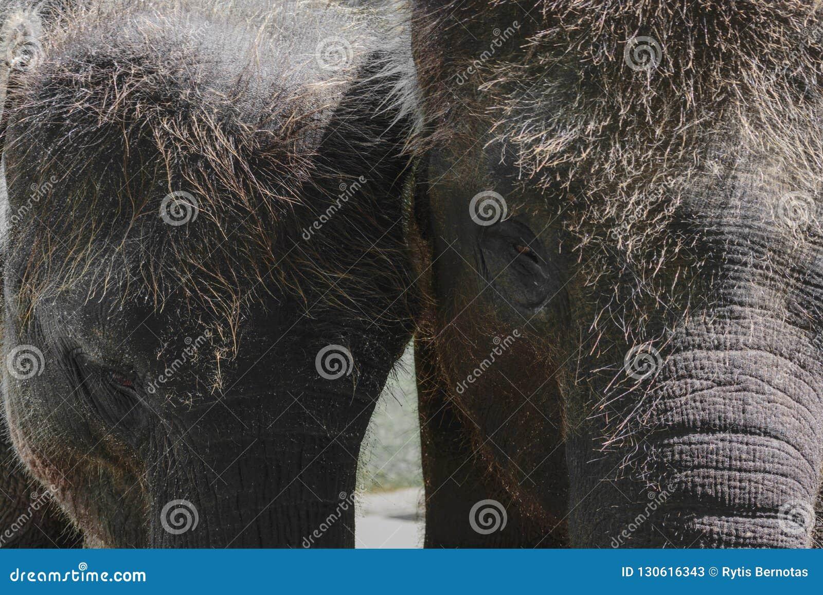 Twee jonge en harige Sumatra-olifanten die zich naast elkaar bevinden