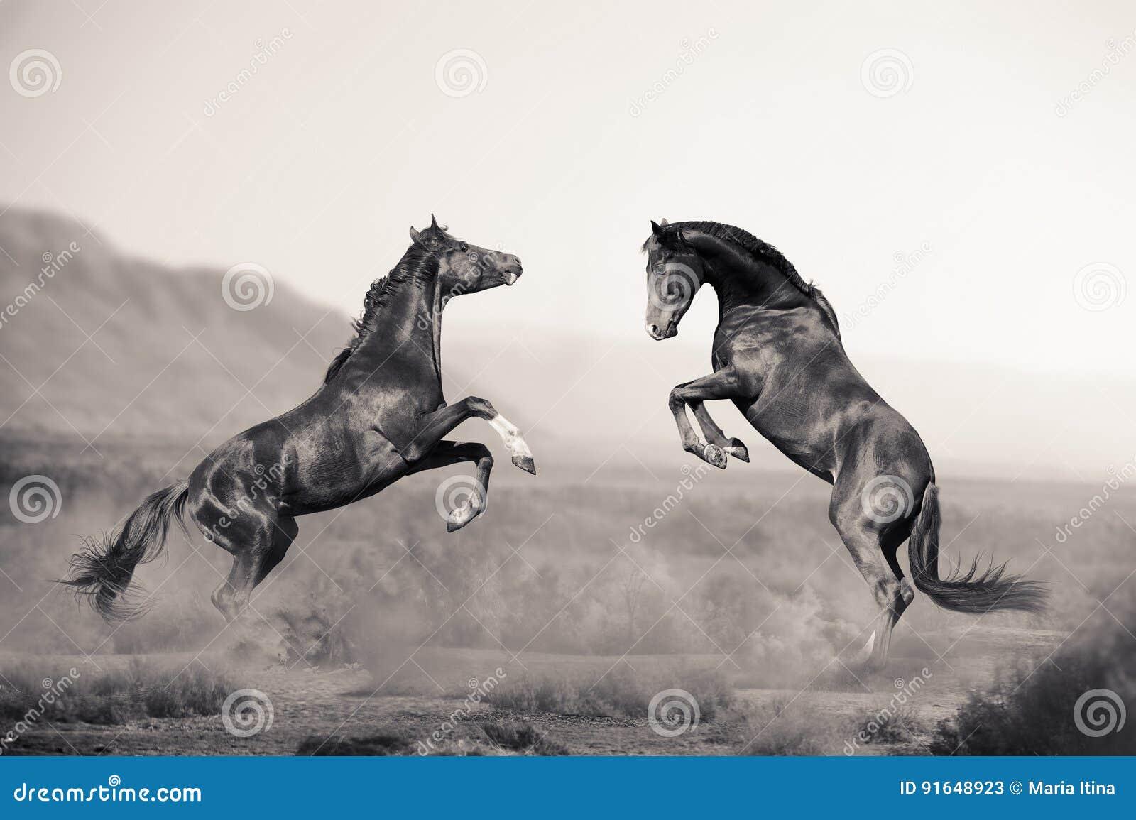 Twee jonge hengsten die in woestijn vechten
