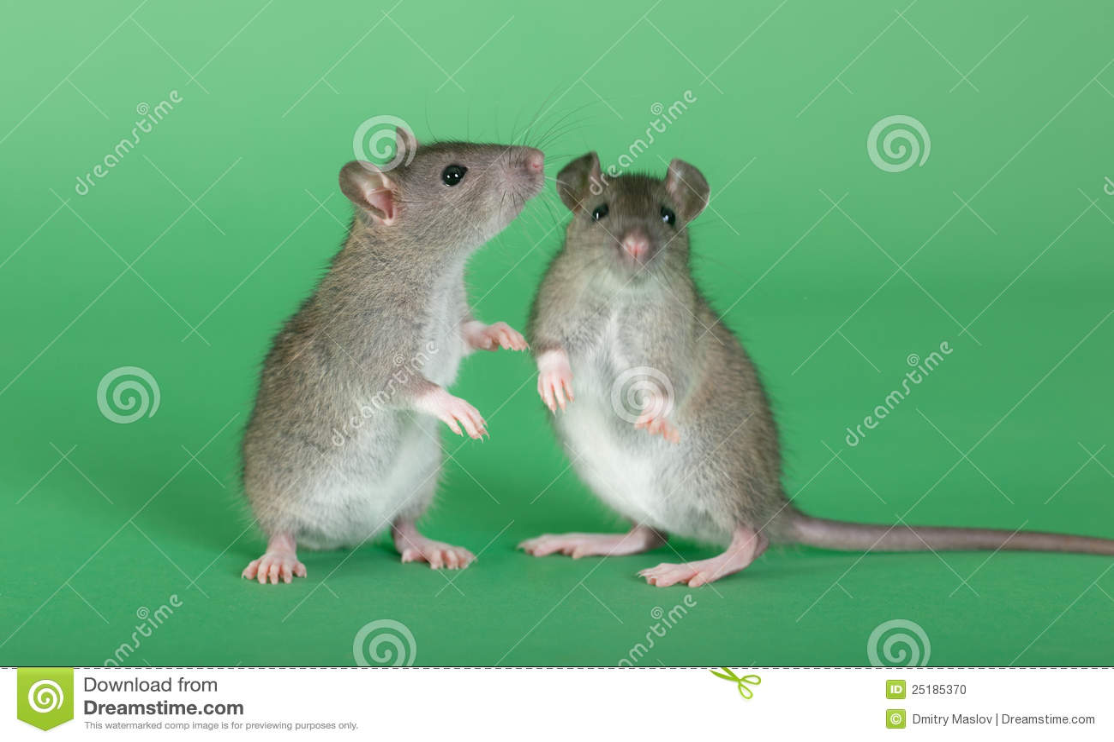 twee jonge ratten stock foto afbeelding bestaande uit staart 25185370. Black Bedroom Furniture Sets. Home Design Ideas