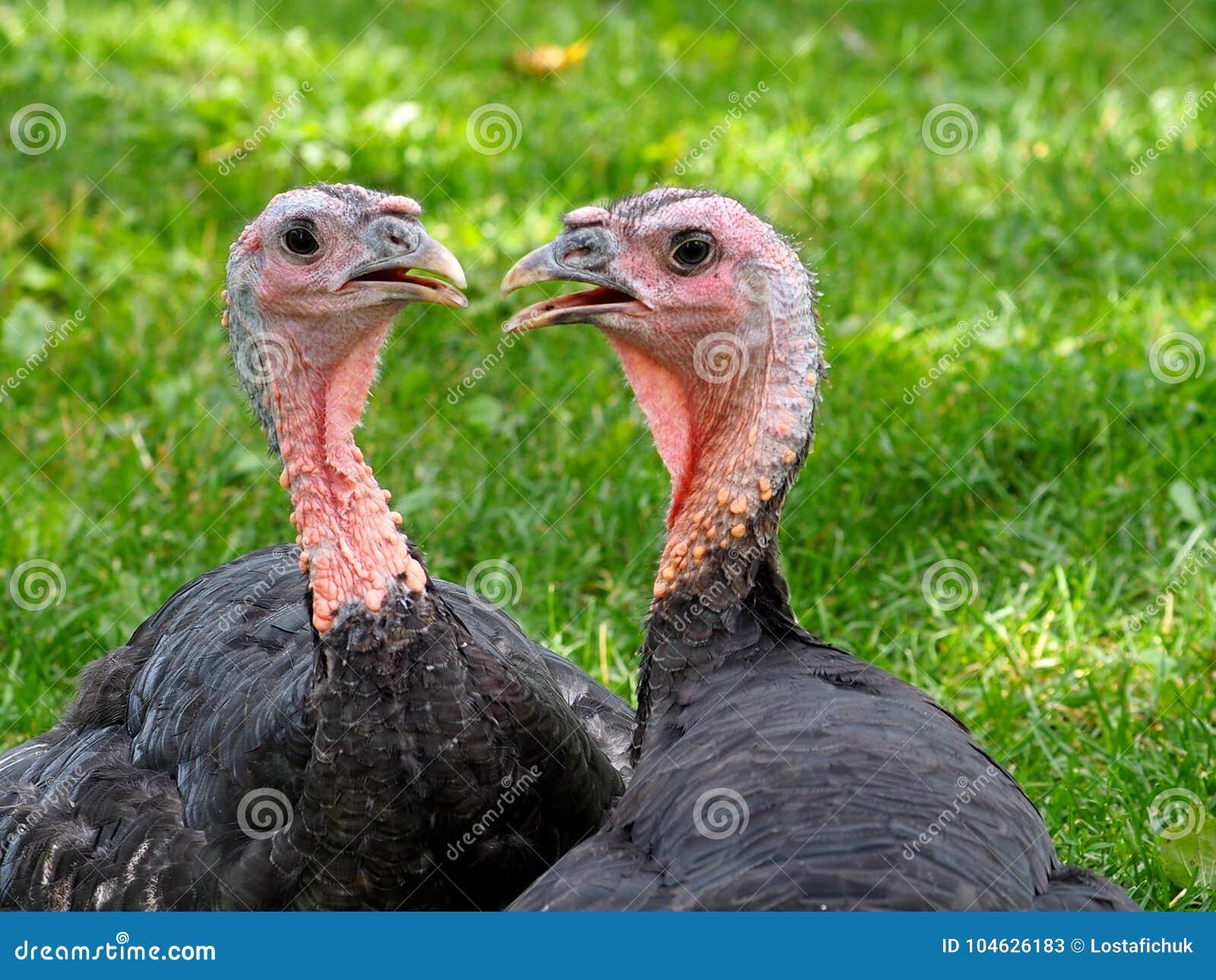 Download Twee Kalkoenen stock afbeelding. Afbeelding bestaande uit turkije - 104626183