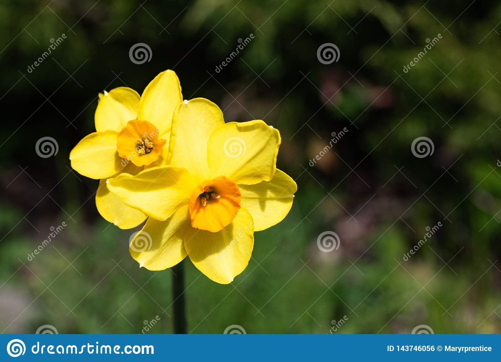 Twee kleine heldere, gelukkige, vrolijke, gele gouden oranje kleine de gele narcisbollen die van Pasen van de kop unieke lente in